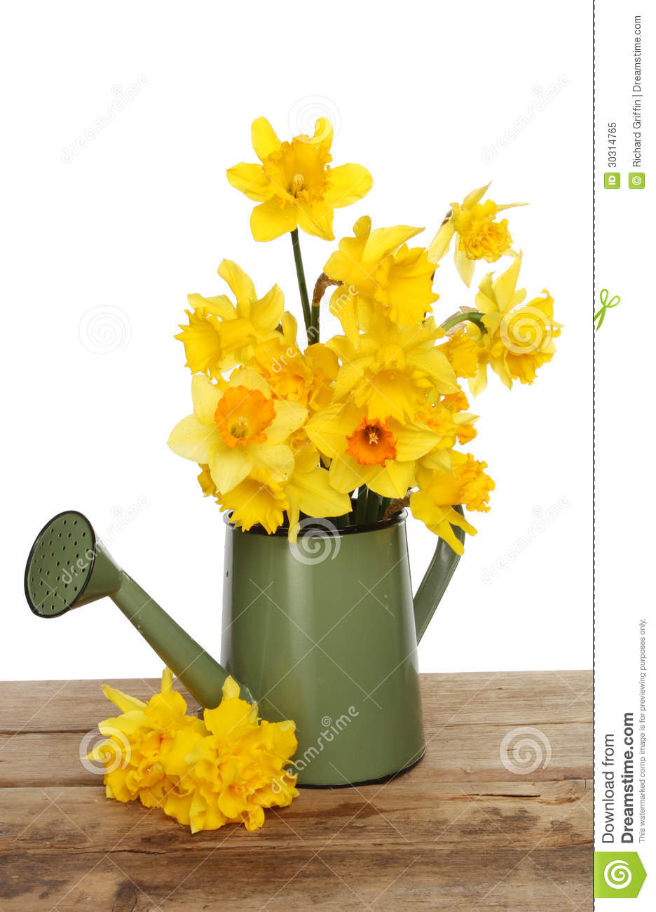 Daffodils In A Watering Can Stock Image Image of trumpet