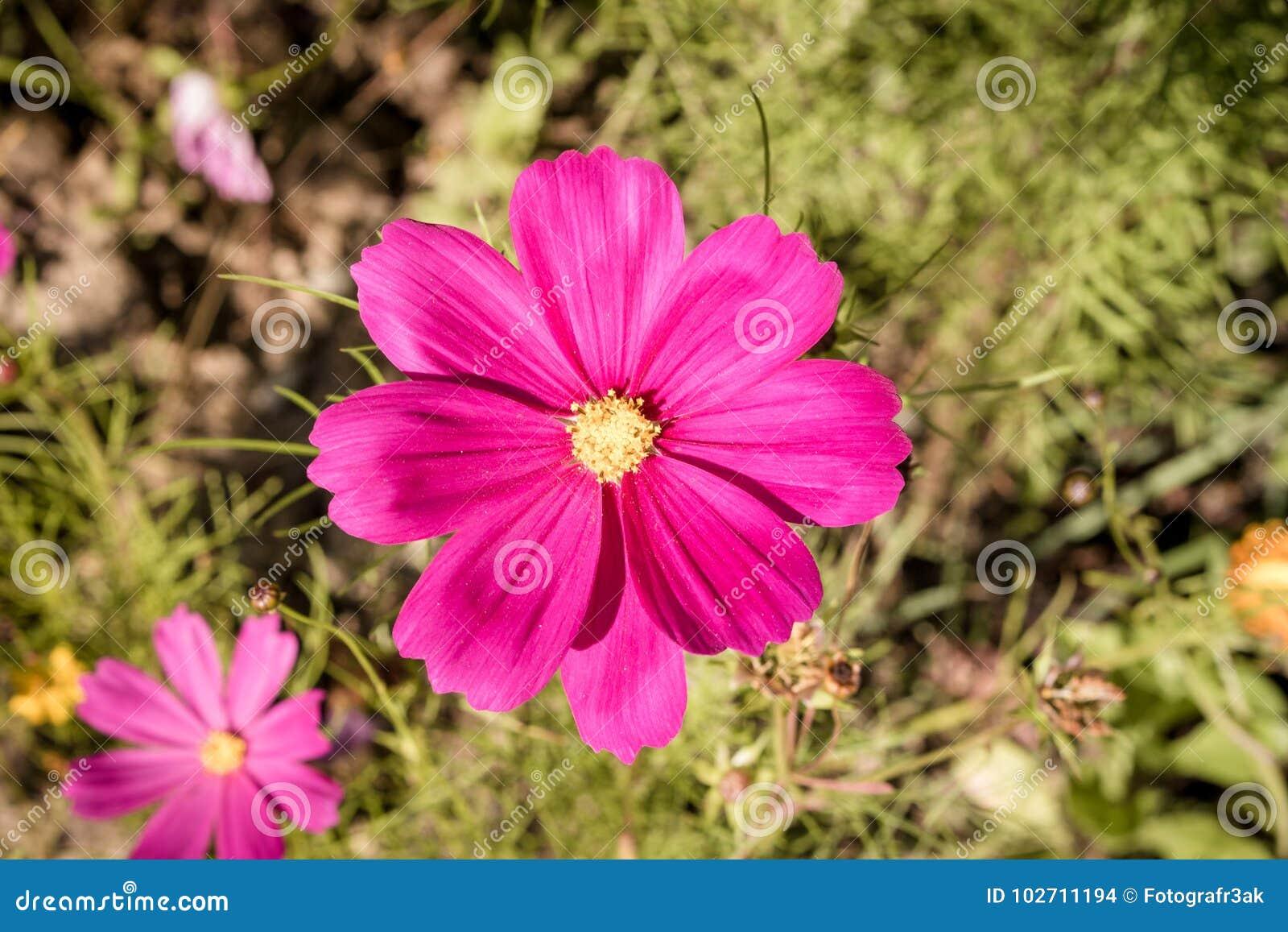 Arranjo De Flores 4 De Cosmea Foto De Stock Imagem De Esfrege