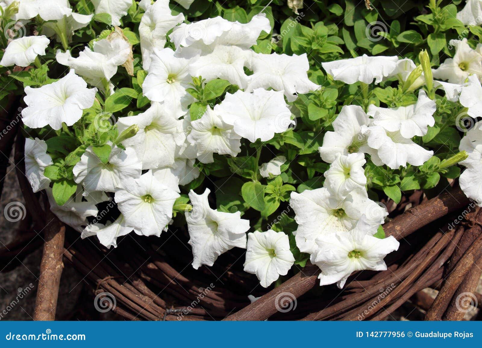 Arreglo Floral De Los Pétalos Blancos Para Adornar El Jardín