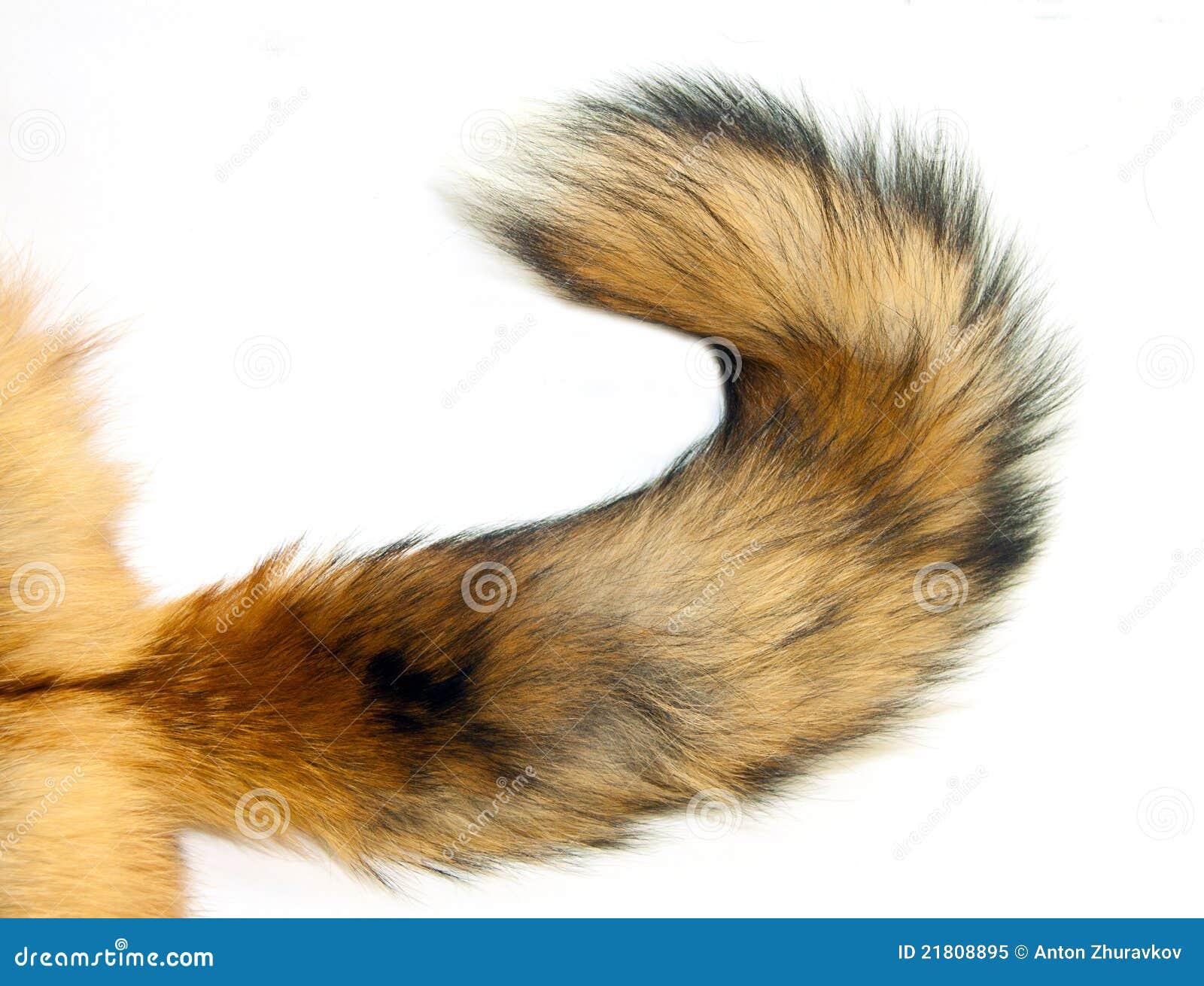 Arrière de Fox rouge
