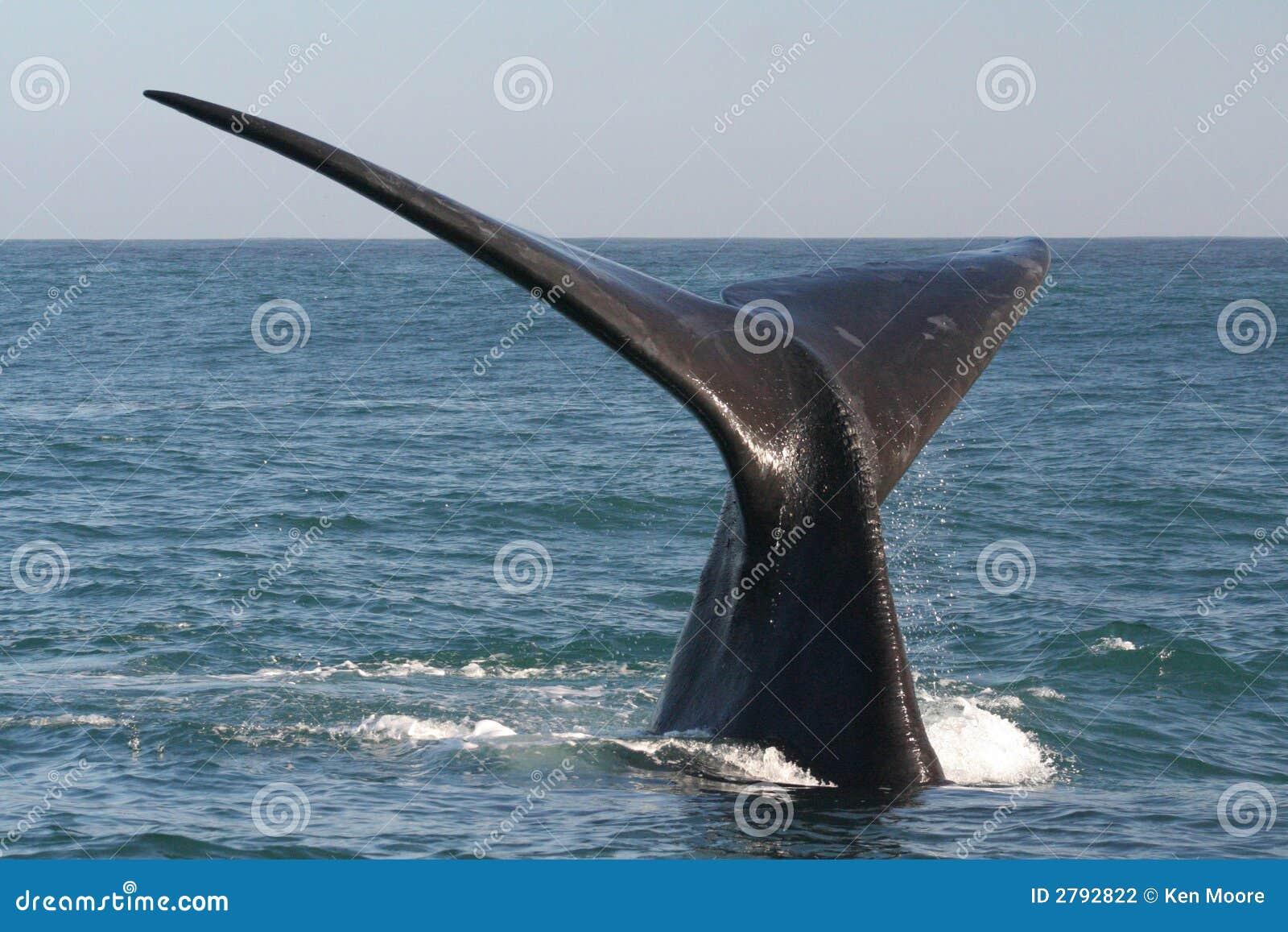 Arrière méridional de baleine droite