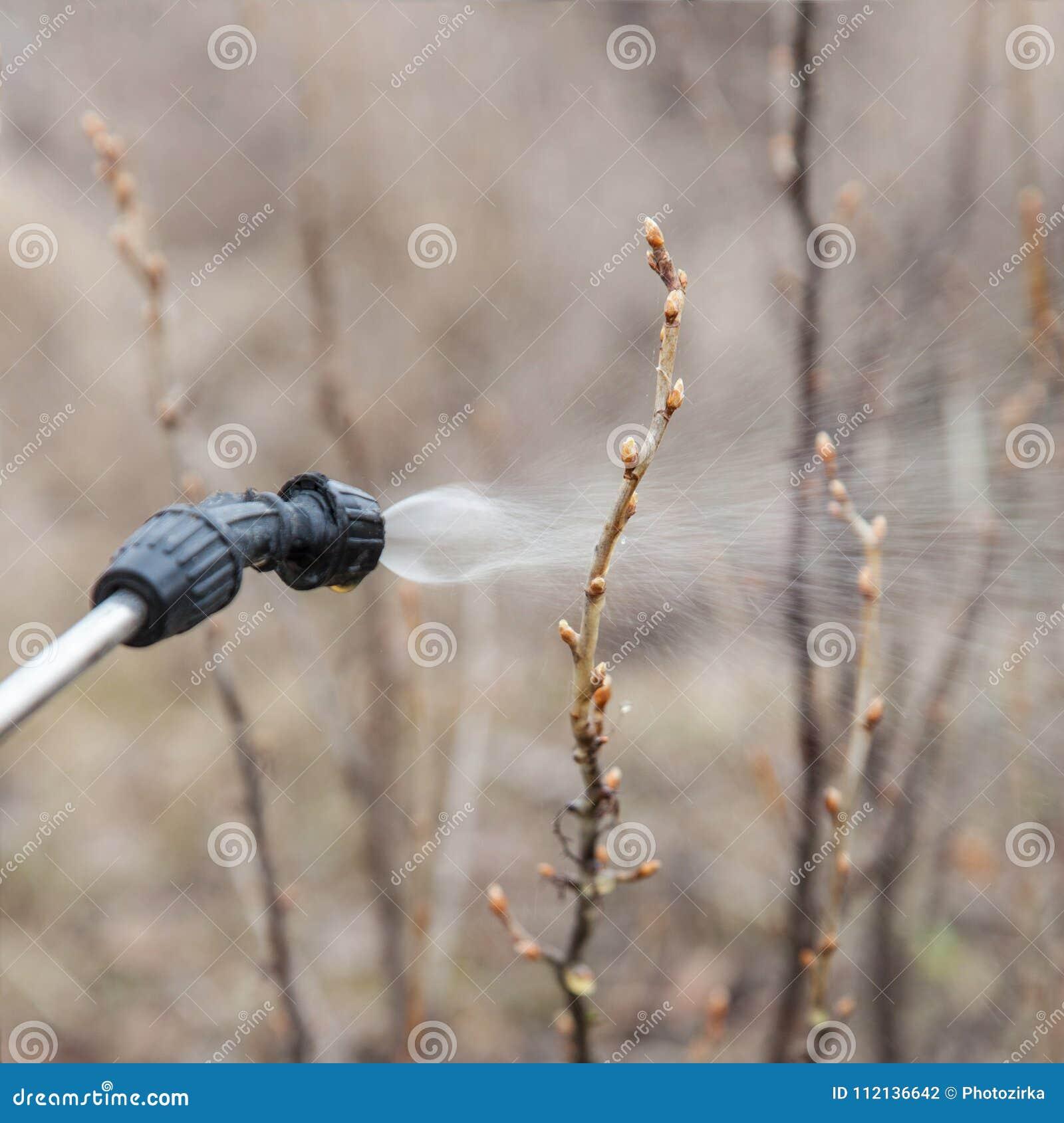 Arrosage de la groseille avec du fongicide