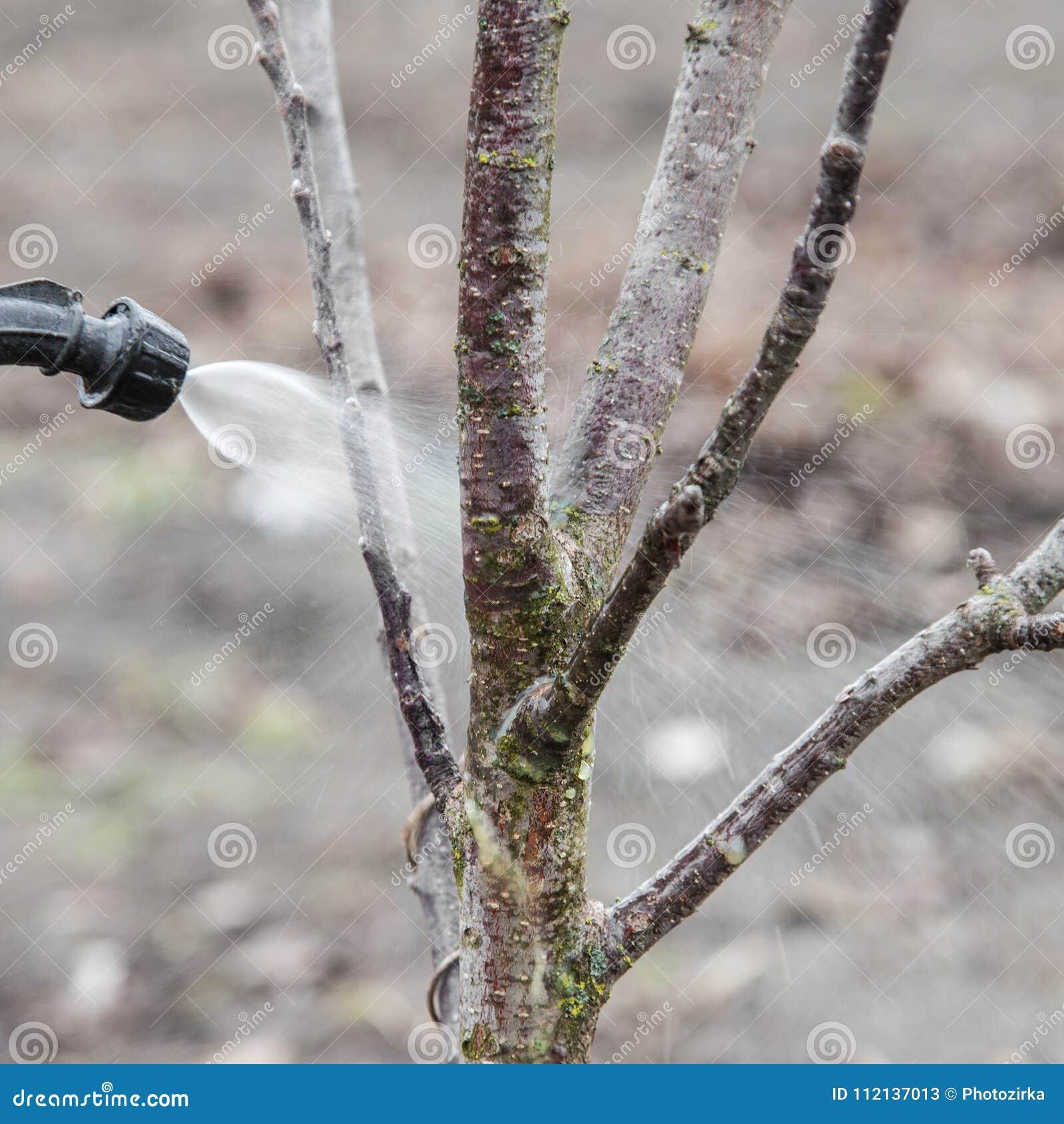 Arrosage des arbres avec du fongicide
