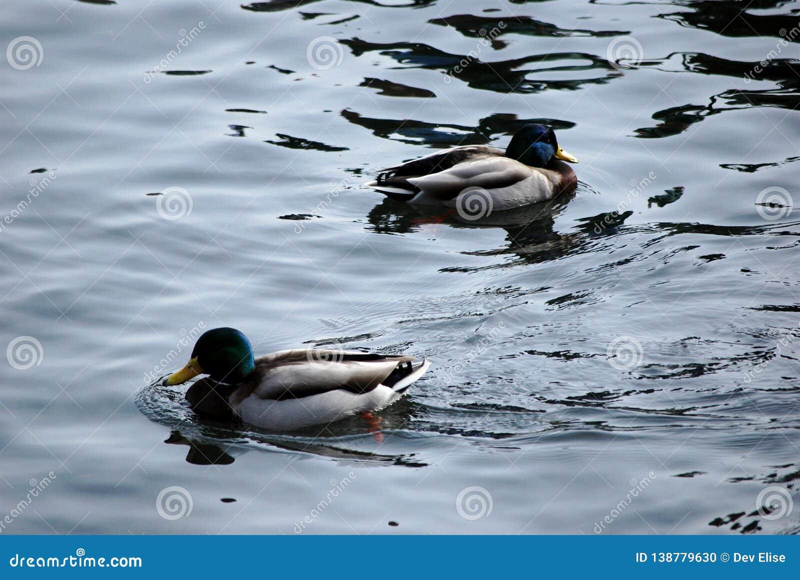 Arrowhead Ducks