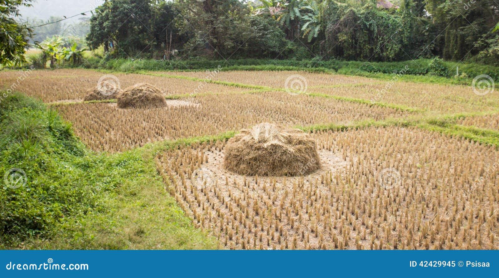 Arroz Paddy Field