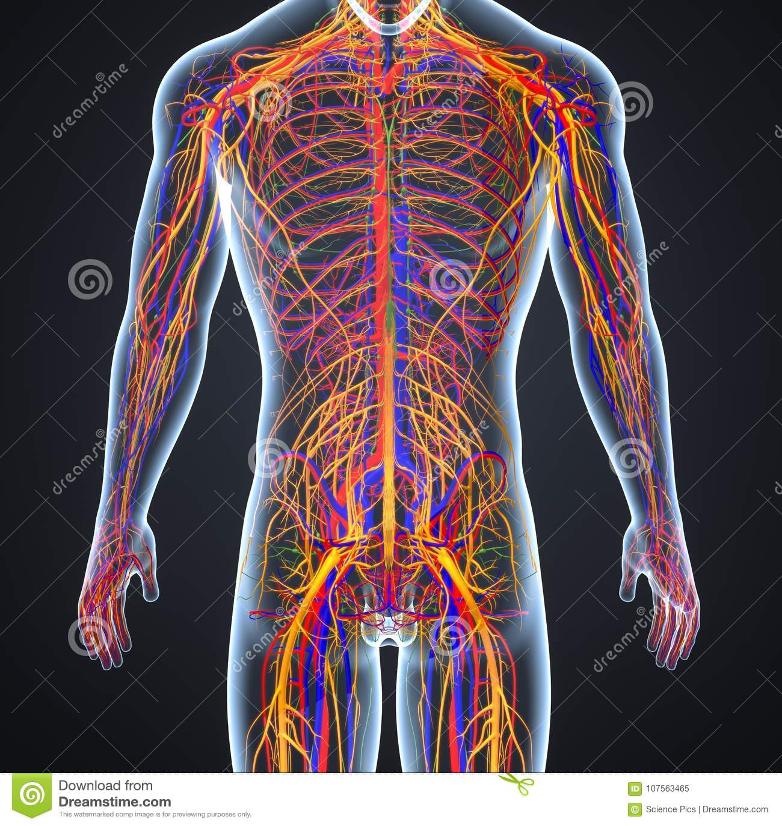 Artérias corpo mapa de e veias humano no