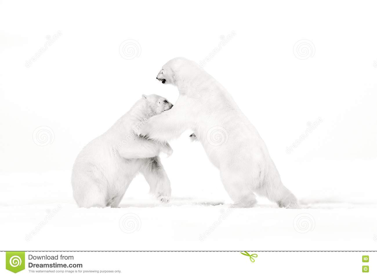 Art, black and white photo of two polar bears fighting on drift ice in Arctic Svalbard. Animal fight in white snow. White wildlife