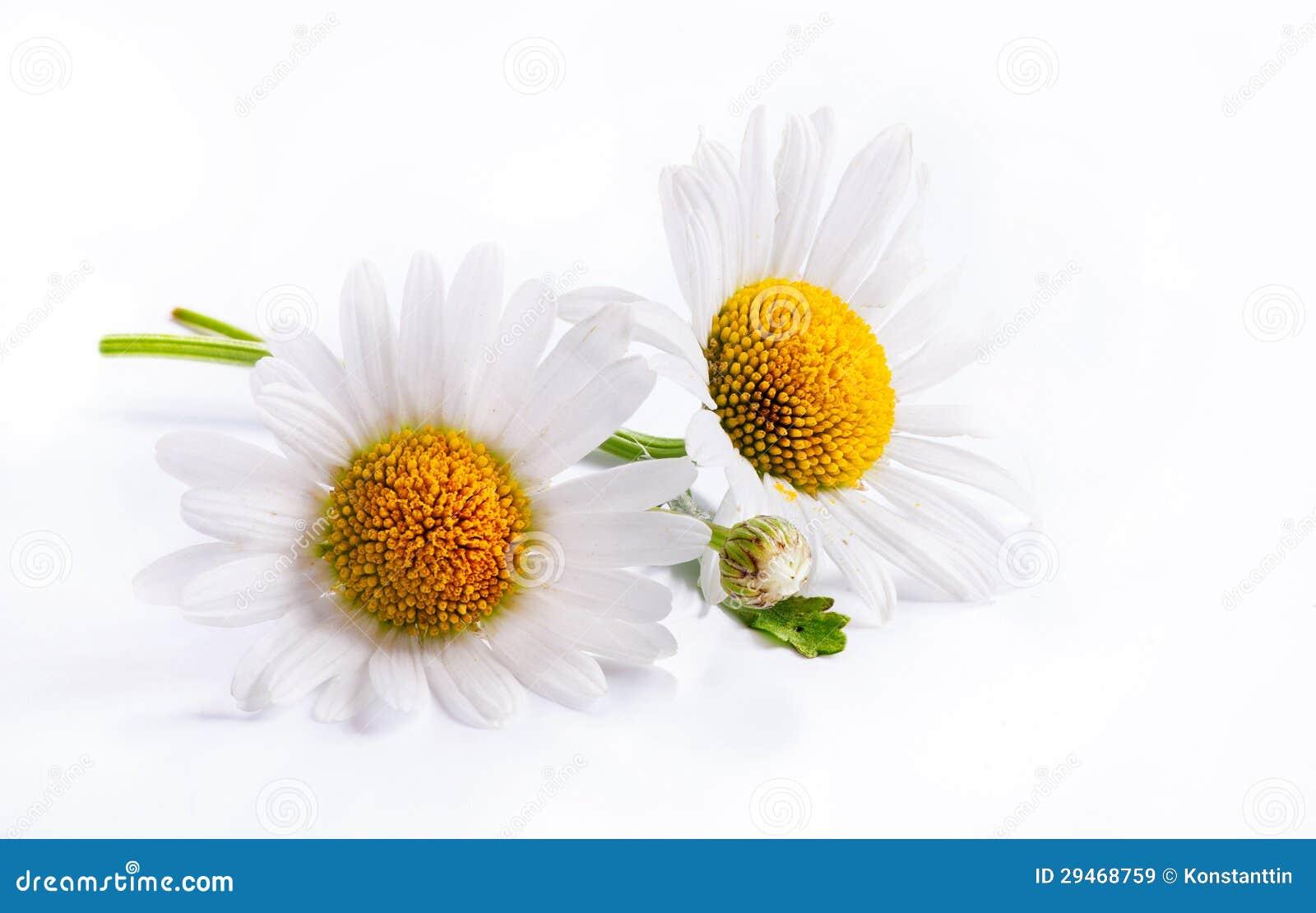 Art Daisies Spring White Flower Isolated On White Background Stock