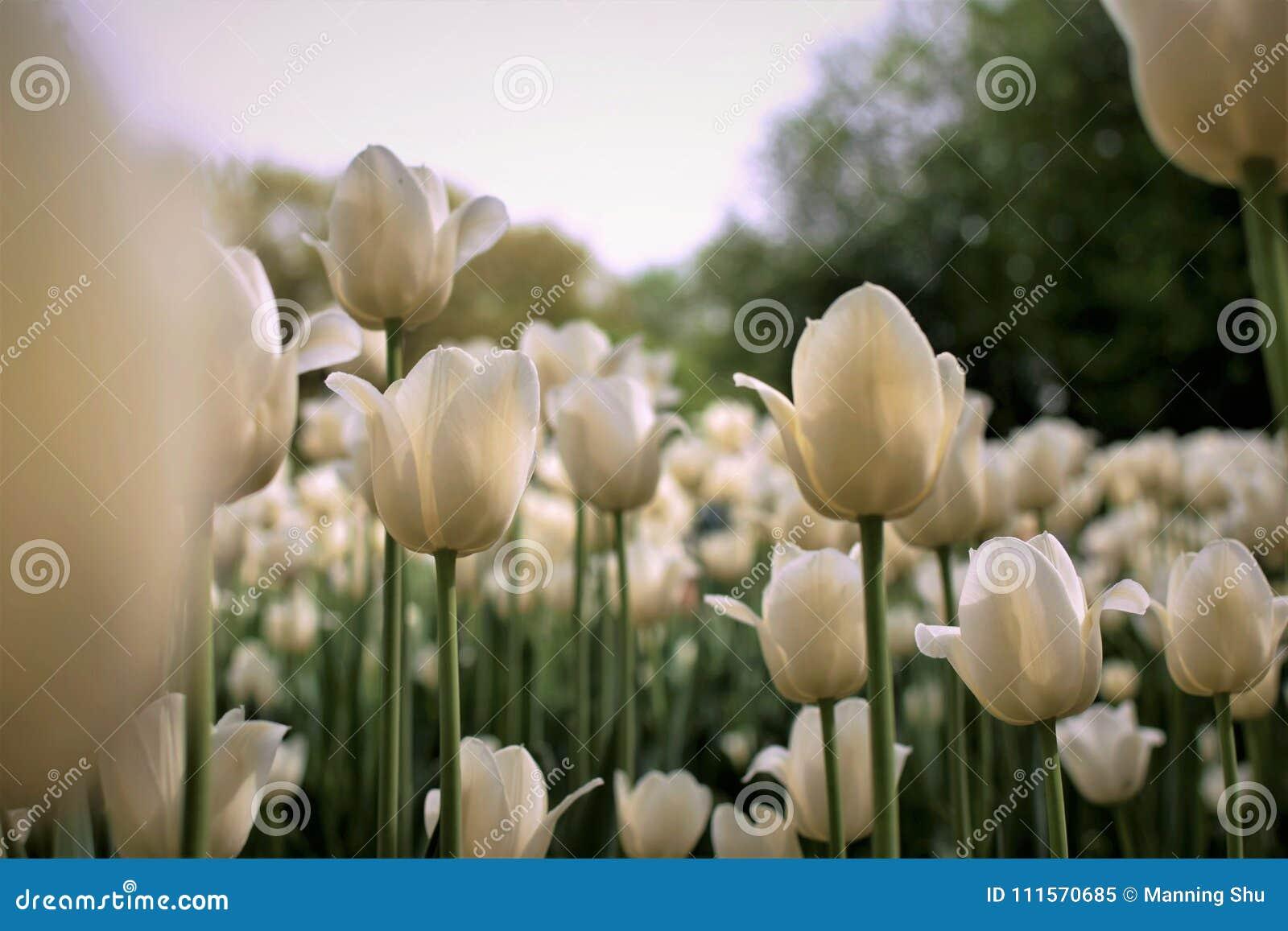 Art Print das tulipas brancas de creme no festival