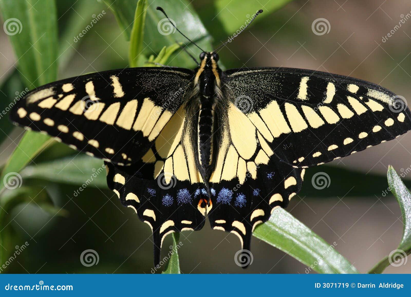 Arte de um Swallowtail