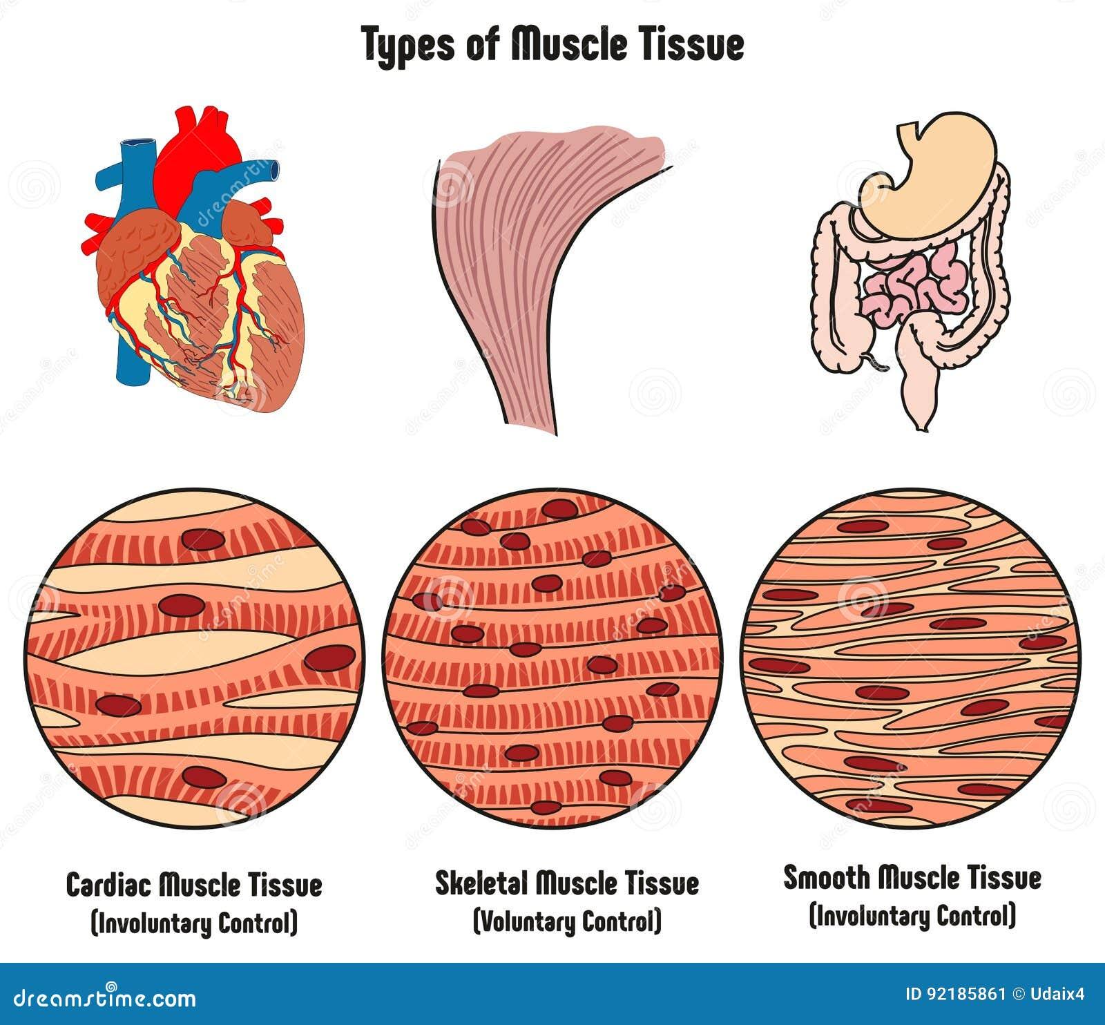 Arten Des Muskel-Gewebes Des Menschlicher Körper-Diagramms Vektor ...
