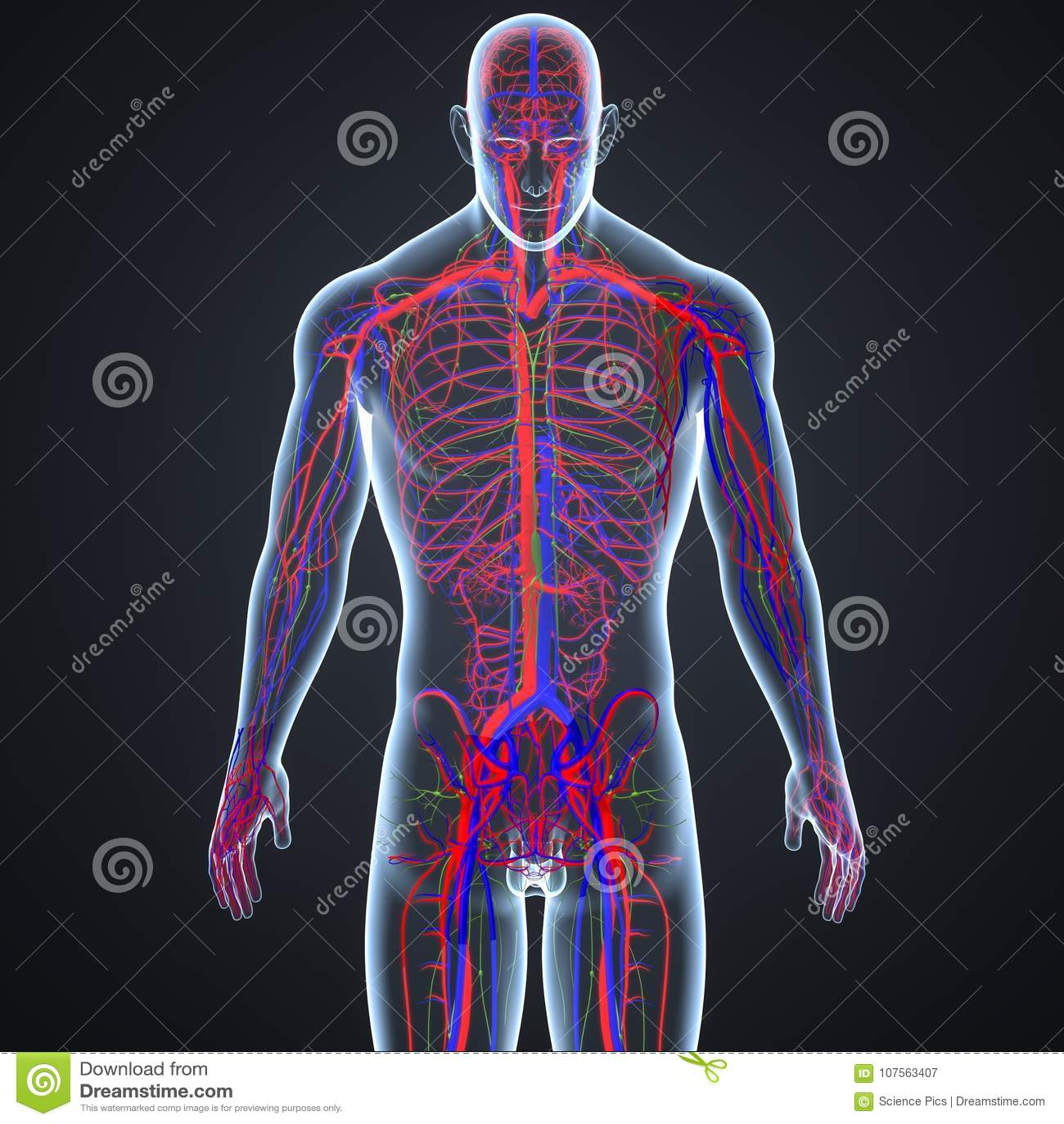Arterias, Venas Y Ganglios Linfáticos En La Opinión Anterior Del ...