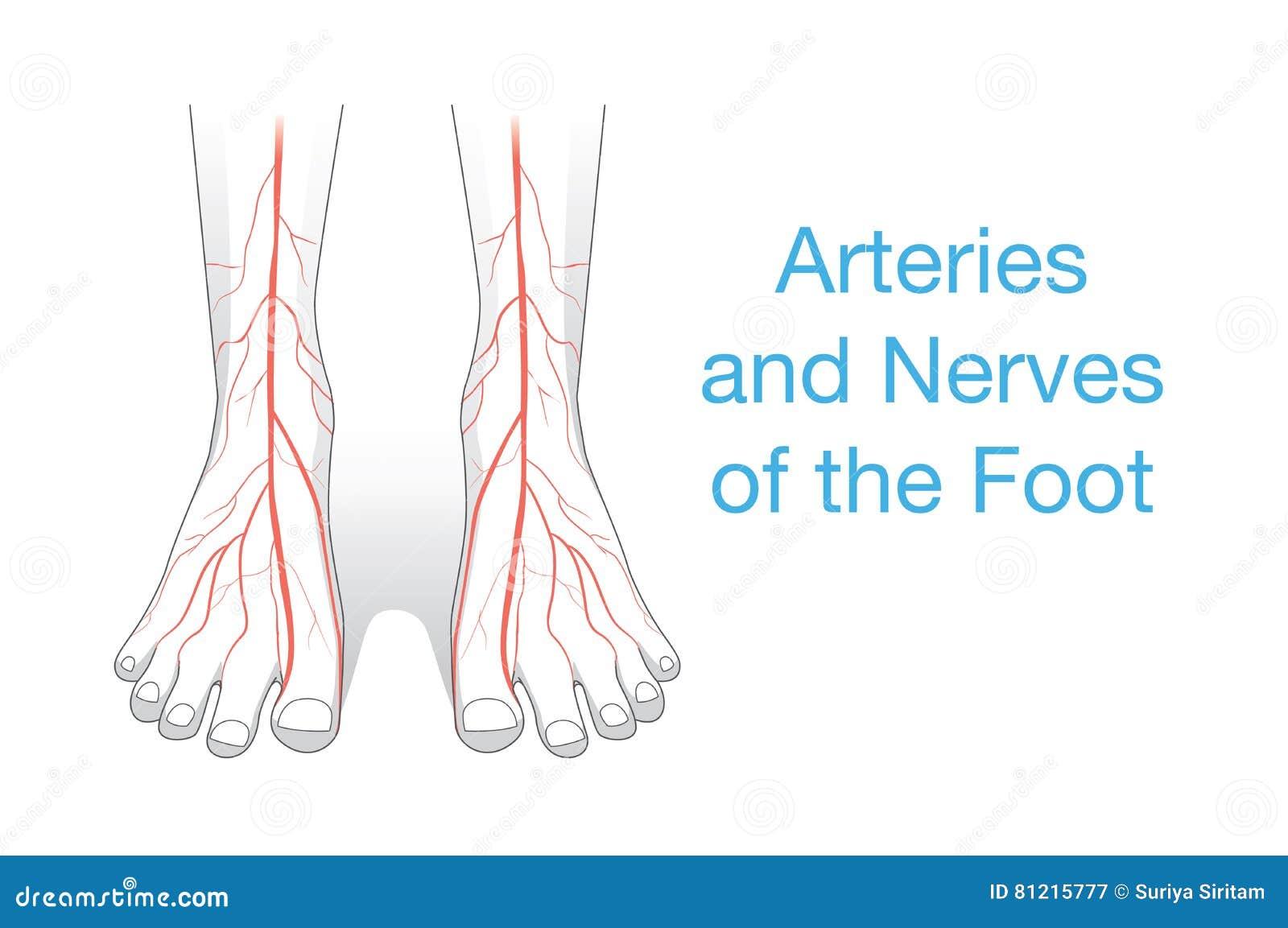Arterias y nervios del pie ilustración del vector. Ilustración de ...