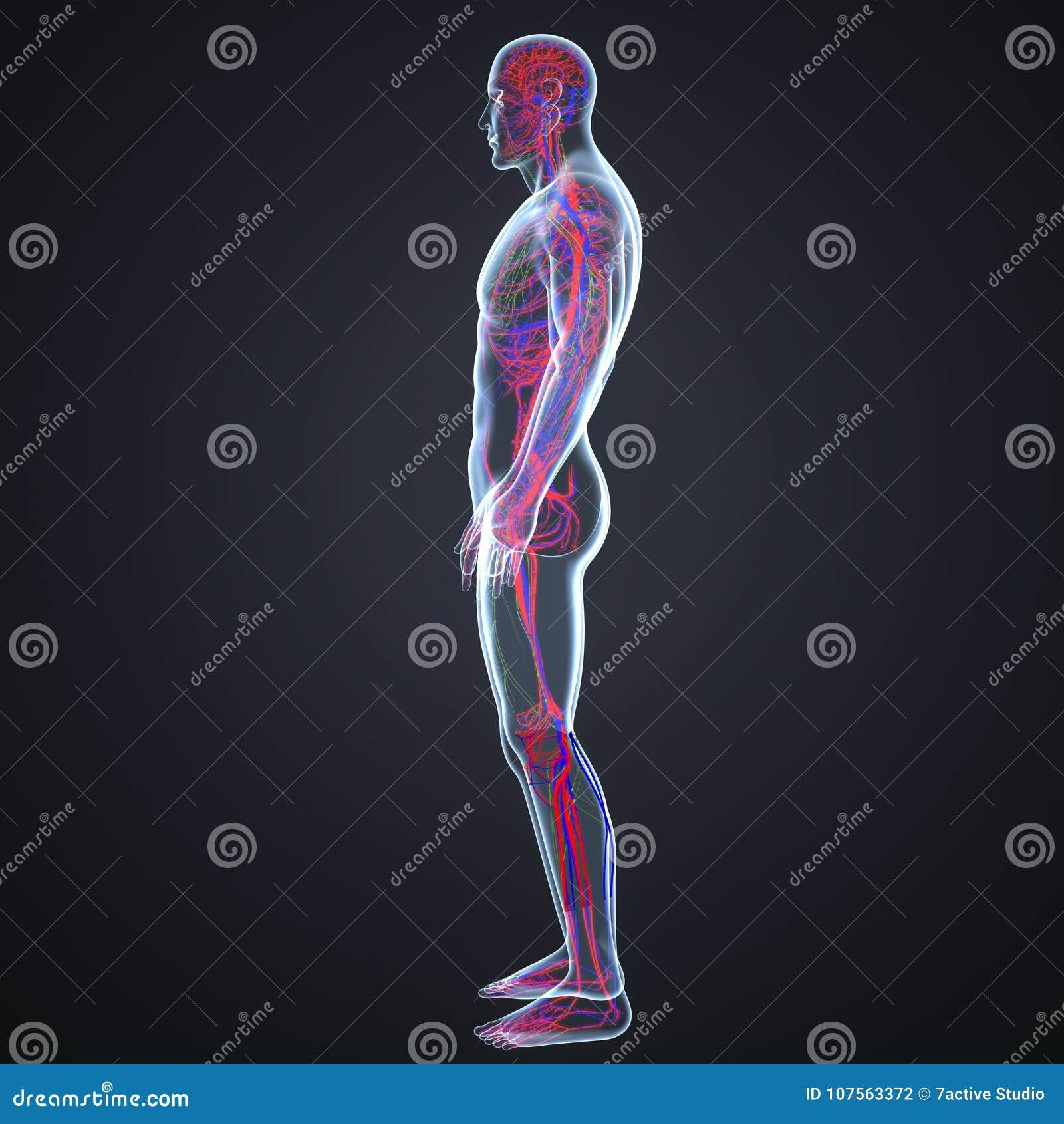 Arterien-, Ader- Und Lymphknoten In Der Menschlicher Körper ...