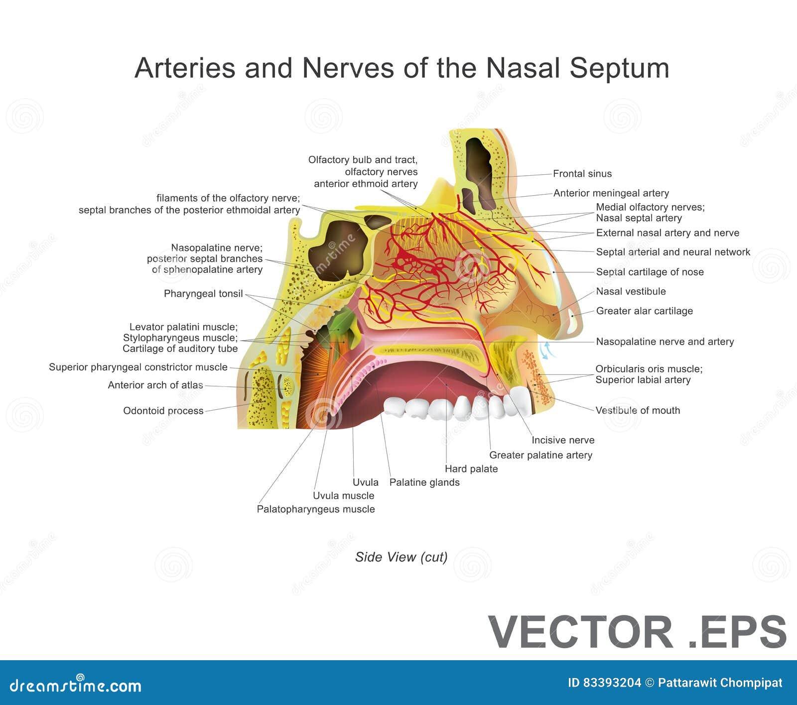 Arterien Und Nerven Der Nasalen Scheidewand Vektor Abbildung ...