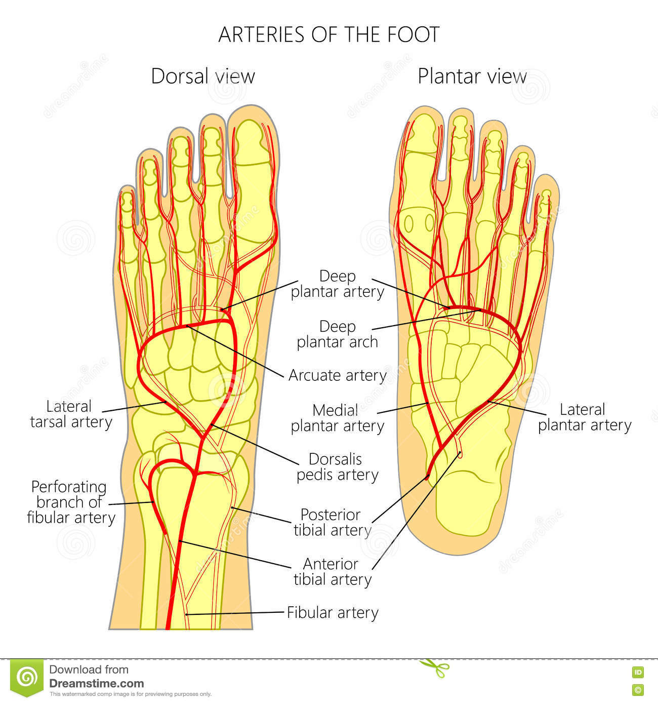 Arteries of the foot stock vector. Illustration of anatomy - 80612262