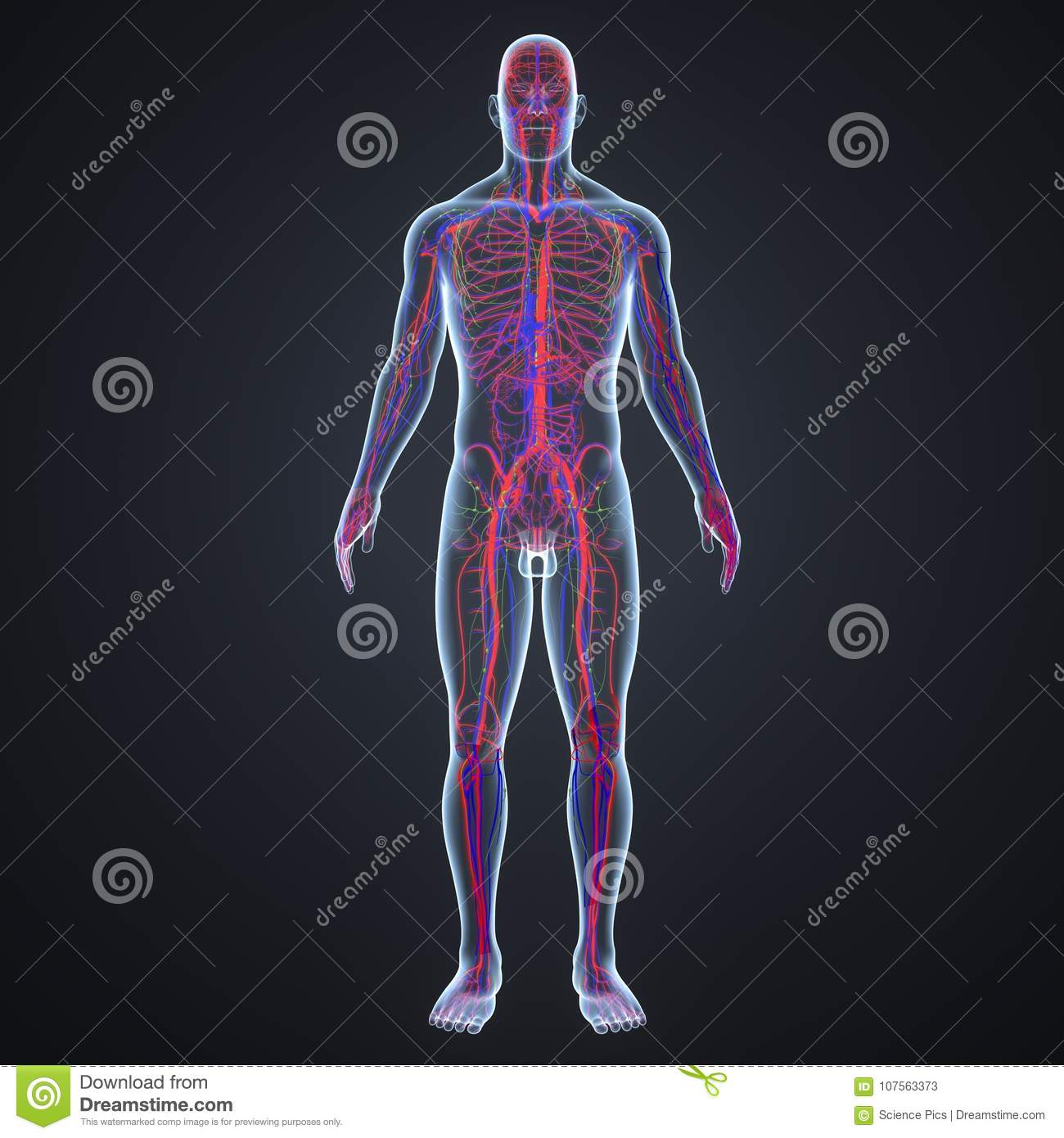 Arteries Veins And Lymph Nodes In Human Body Anterior View Stock