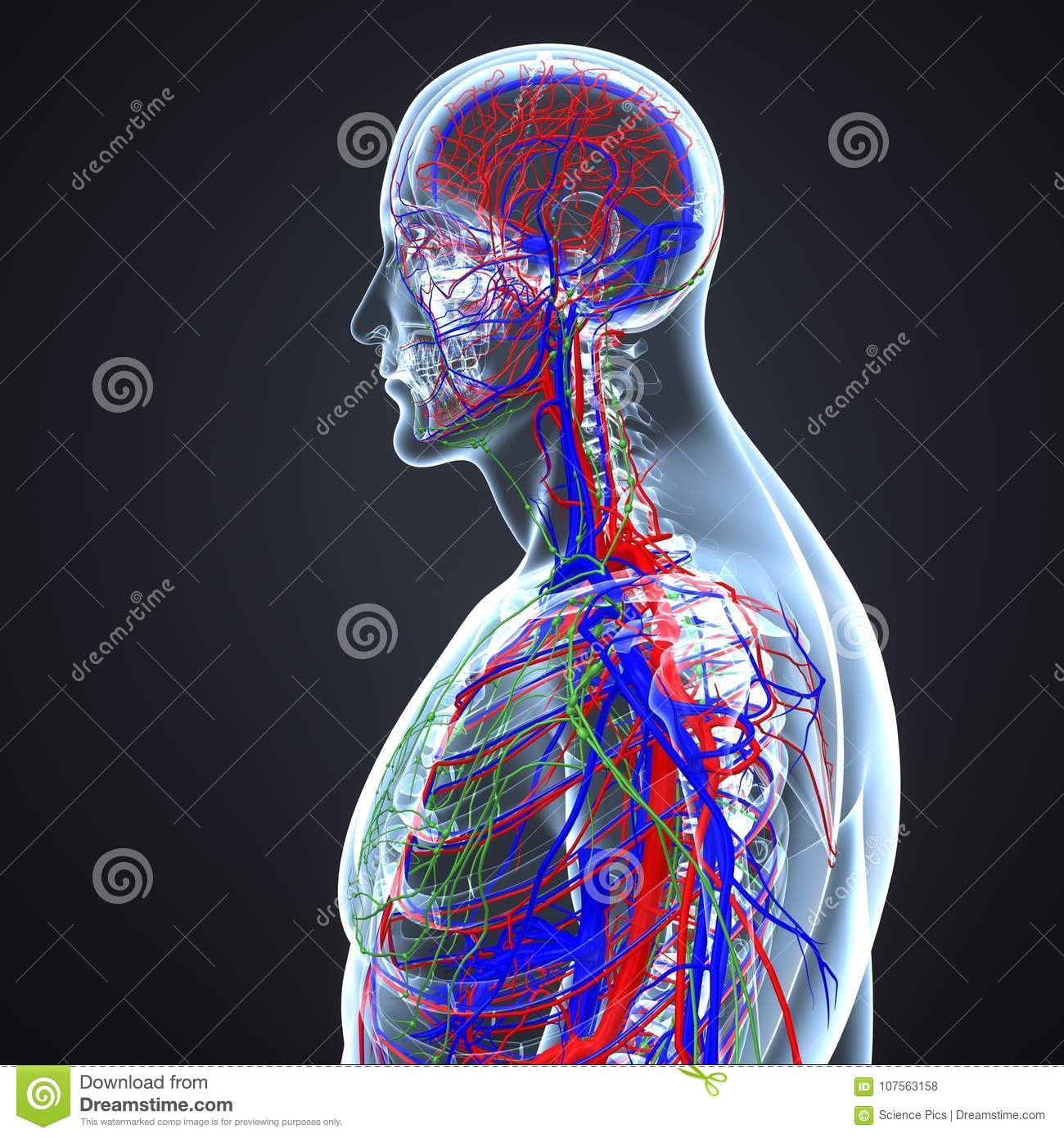 Arteries, Veins And Lymph Nodes With Skeletal Body Lateral