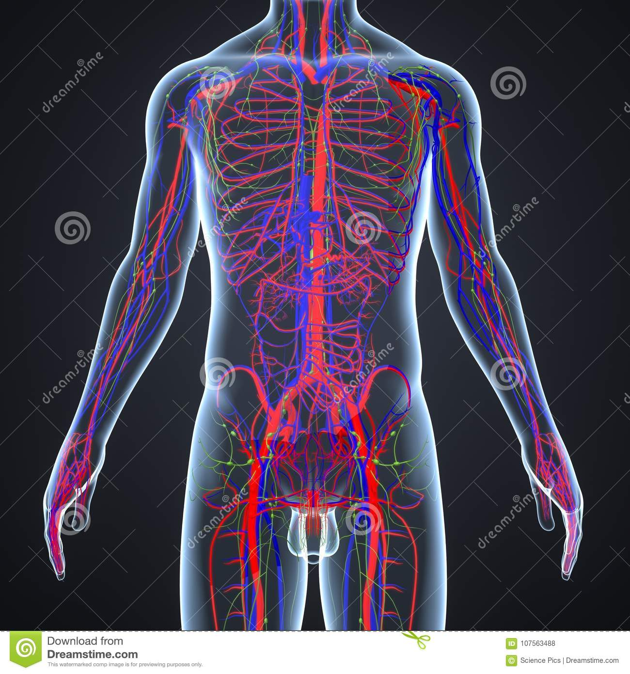 Arteries Veins And Lymphnodes With Human Body Stock Illustration