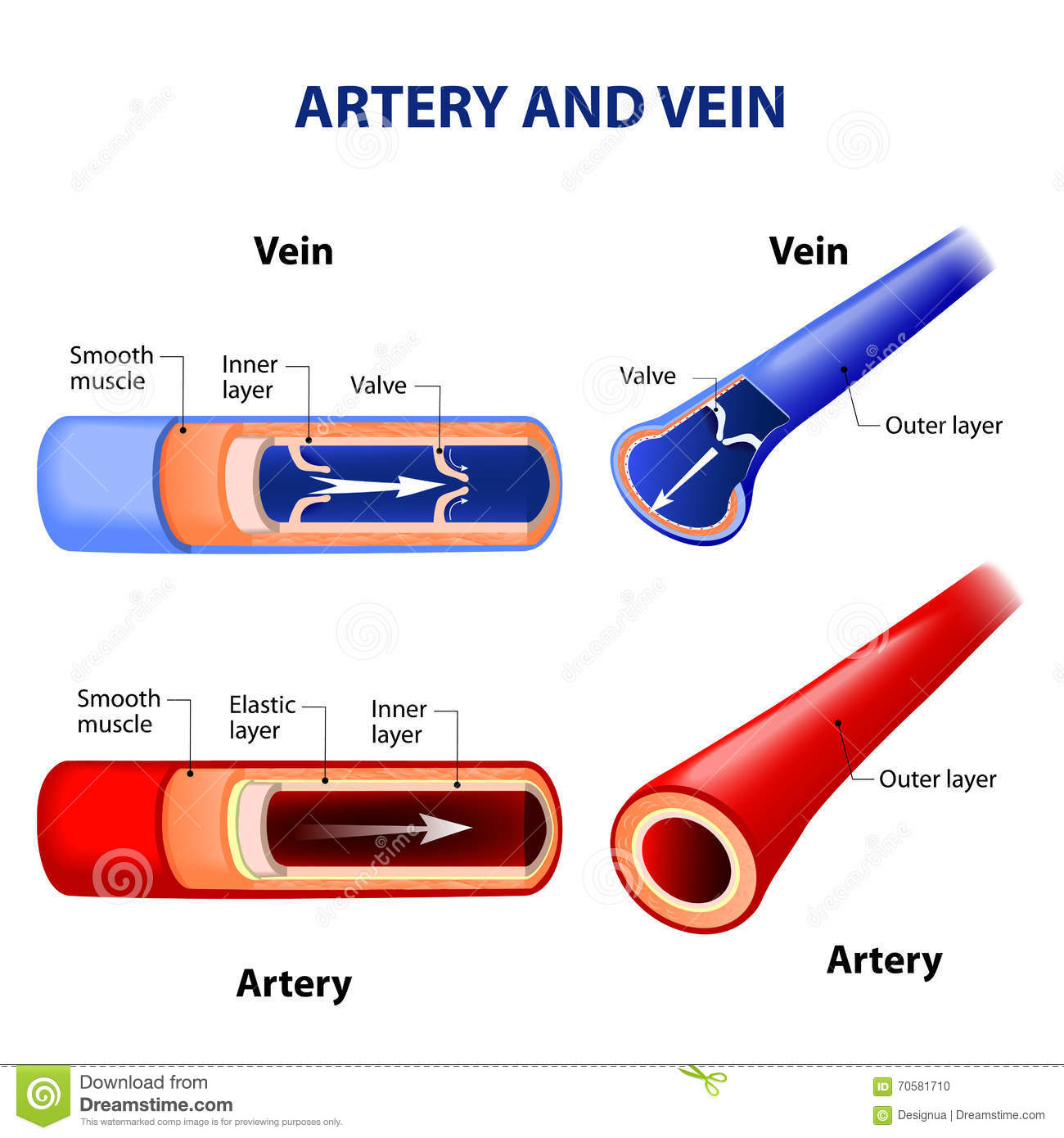 Artery And Vein Stock Illustration Illustration Of Biology 70581710
