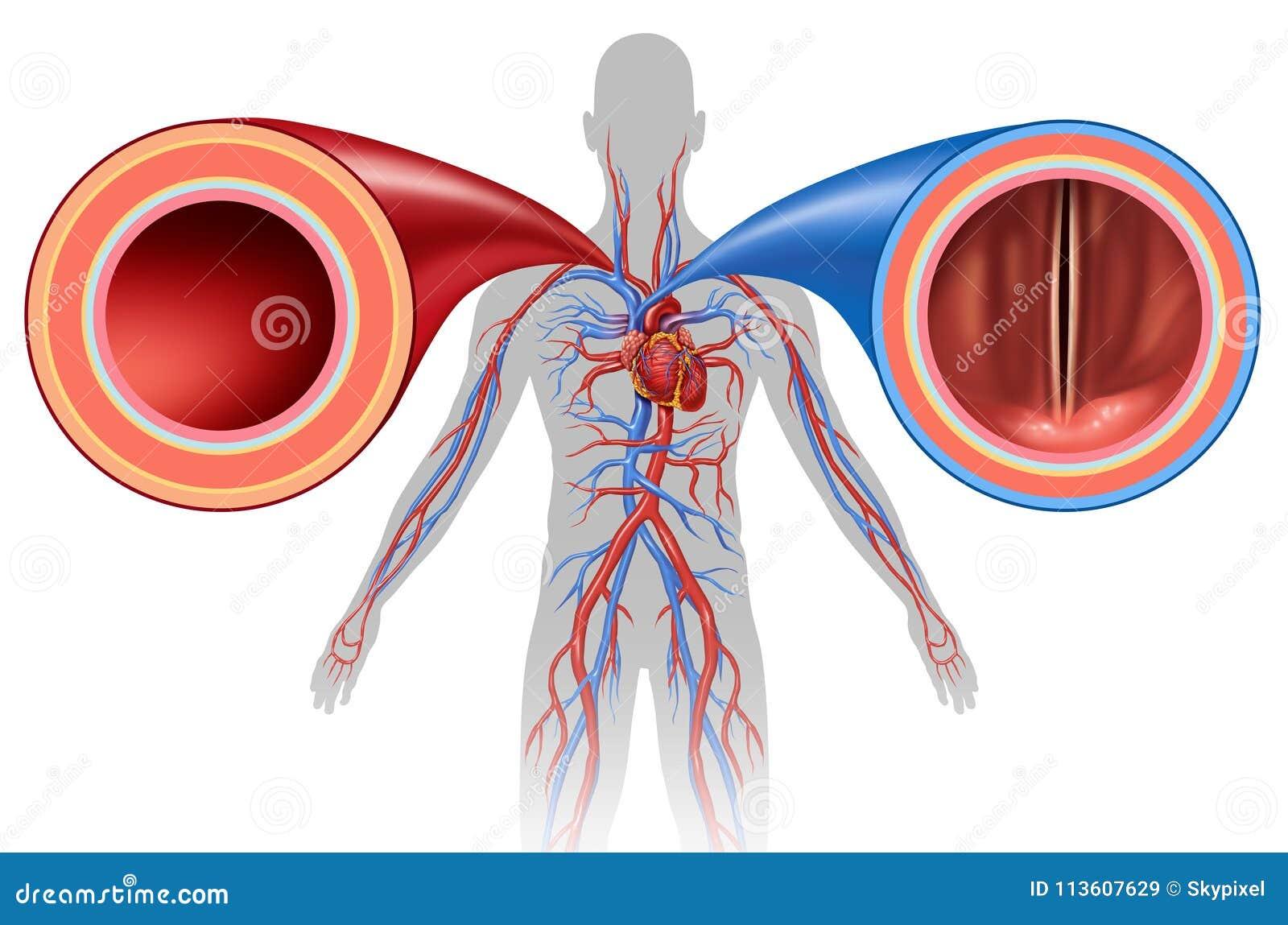 Artery And Vein Human Circulation Stock Illustration Illustration