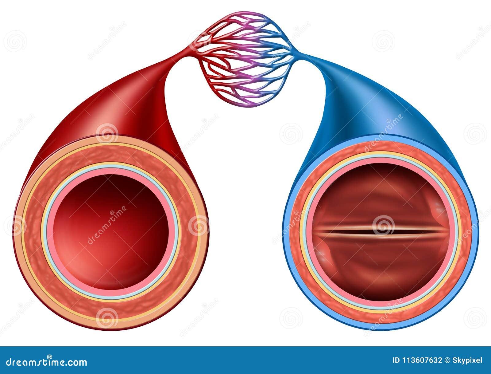 Artery And Vein Stock Illustration Illustration Of Biology 113607632
