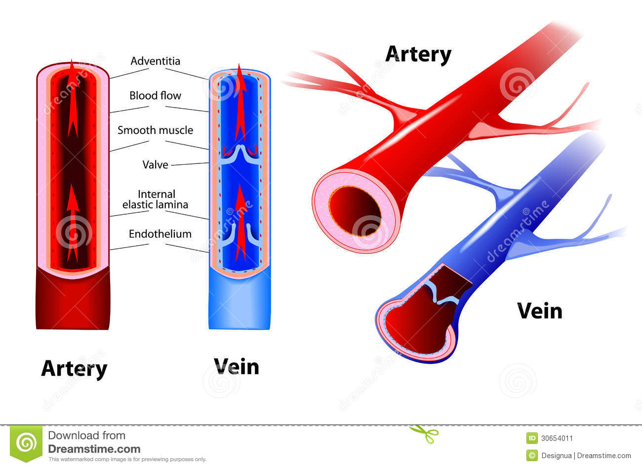 Veins and Arteries - Difference and Comparison | Diffen