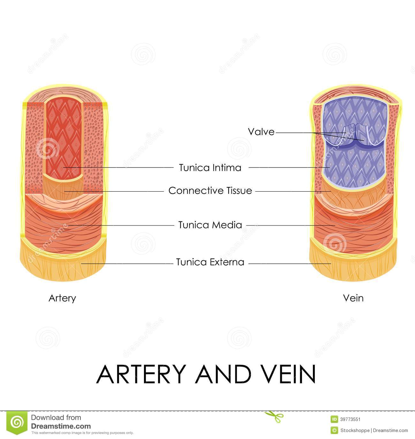 Artery And Vein Stock Vector Illustration Of Blood Intima 39773551