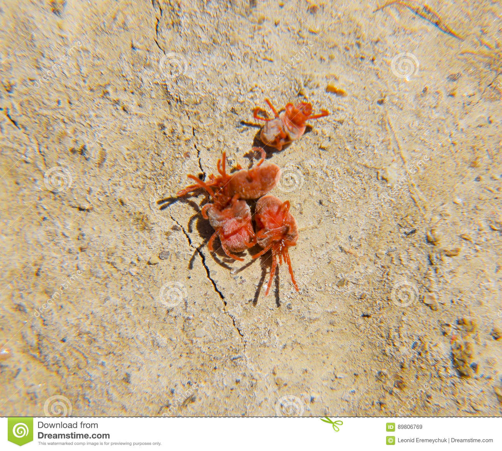 Kleine Rote Spinne