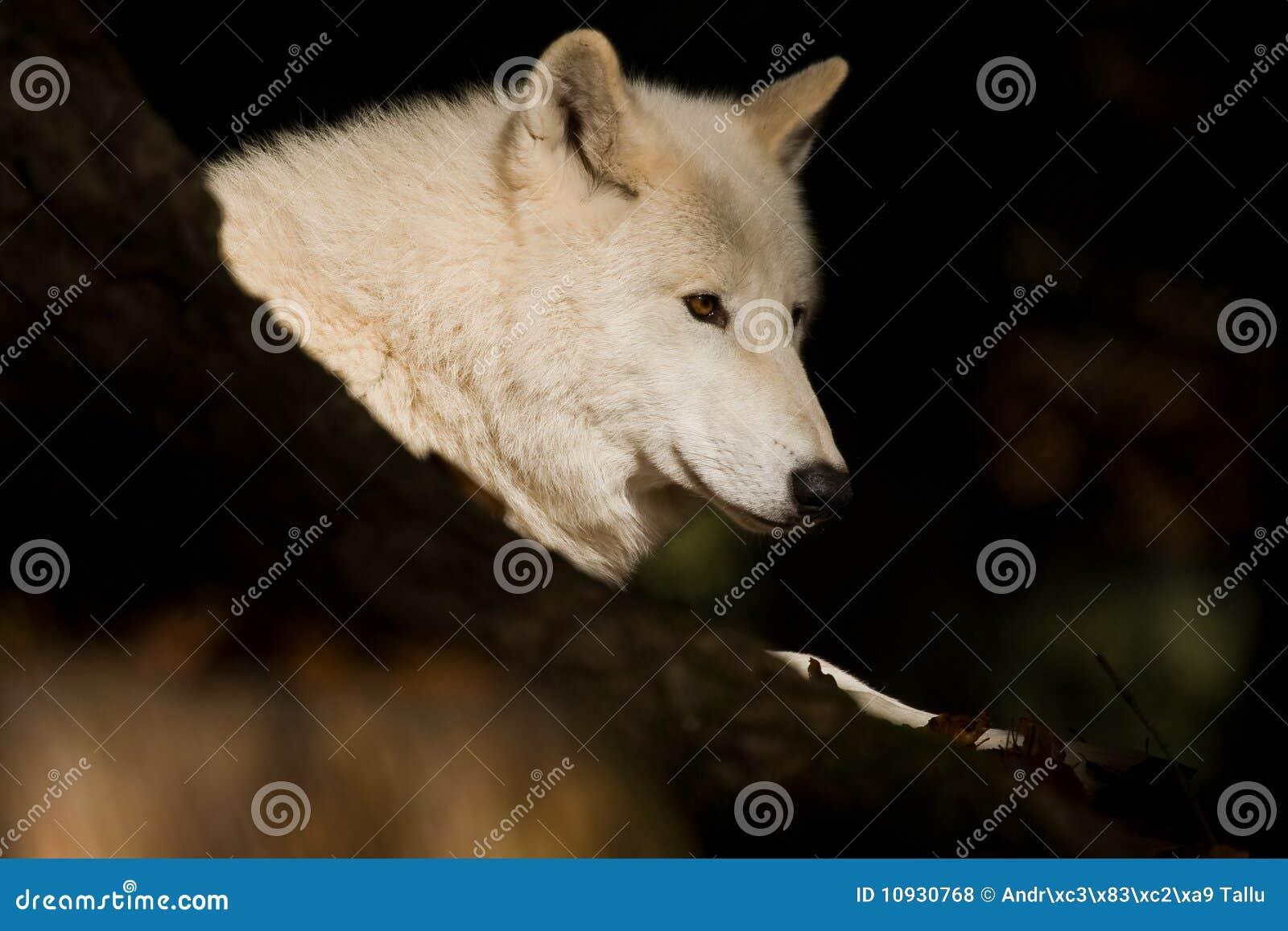 Artic волк