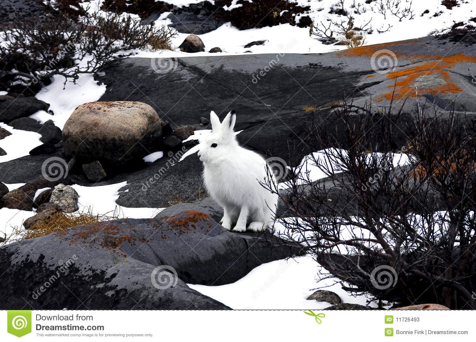 Download Artic Hare stock image. Image of wildlife, rabbit, arctic - 11726493