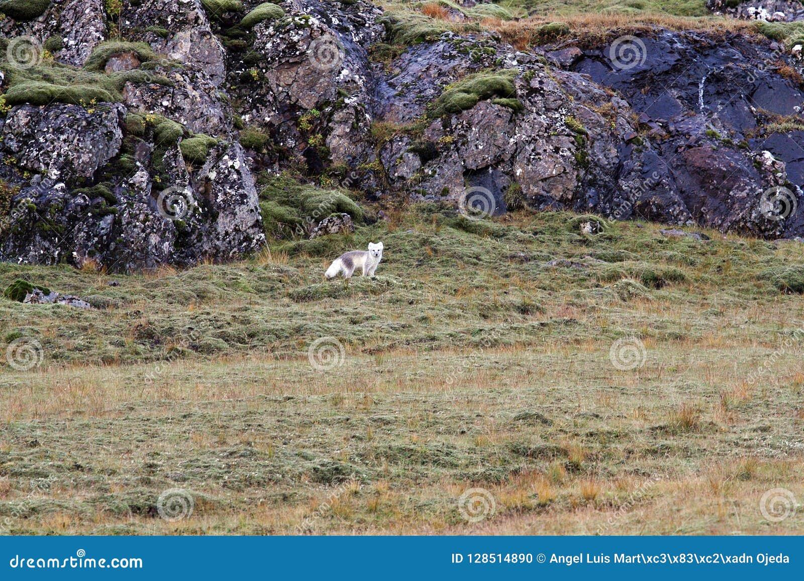 Artic vos die de fotograaf bekijken