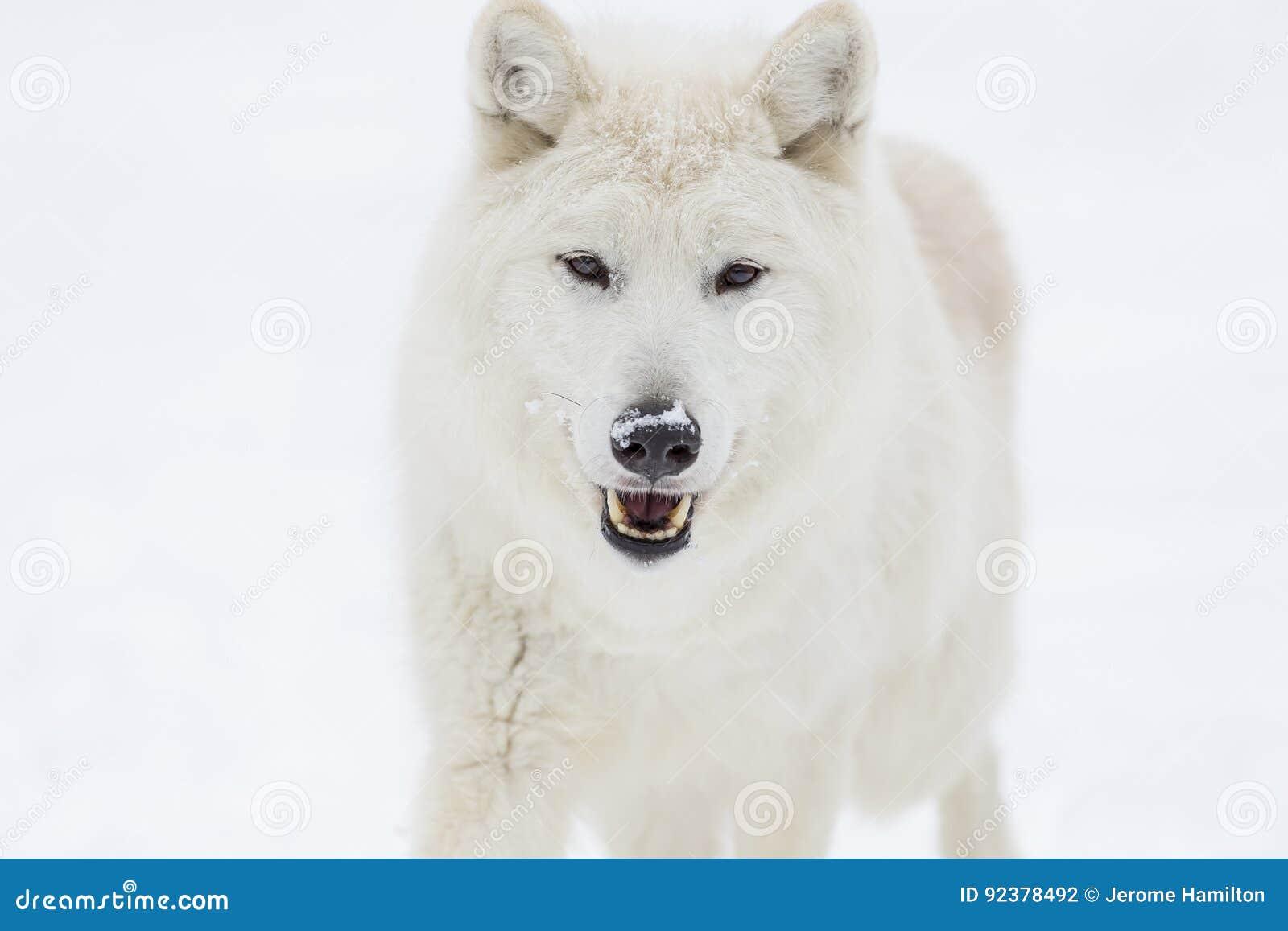 Artic wilk w śniegu
