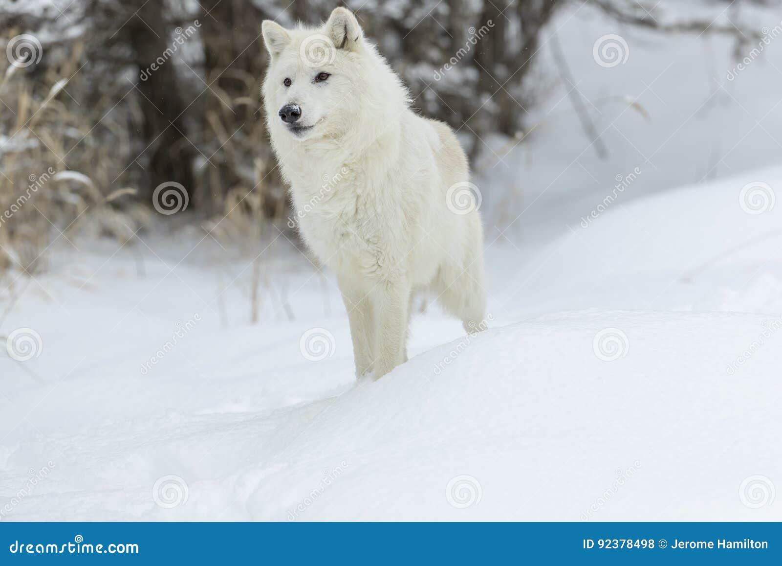 Artic wolf in de sneeuw