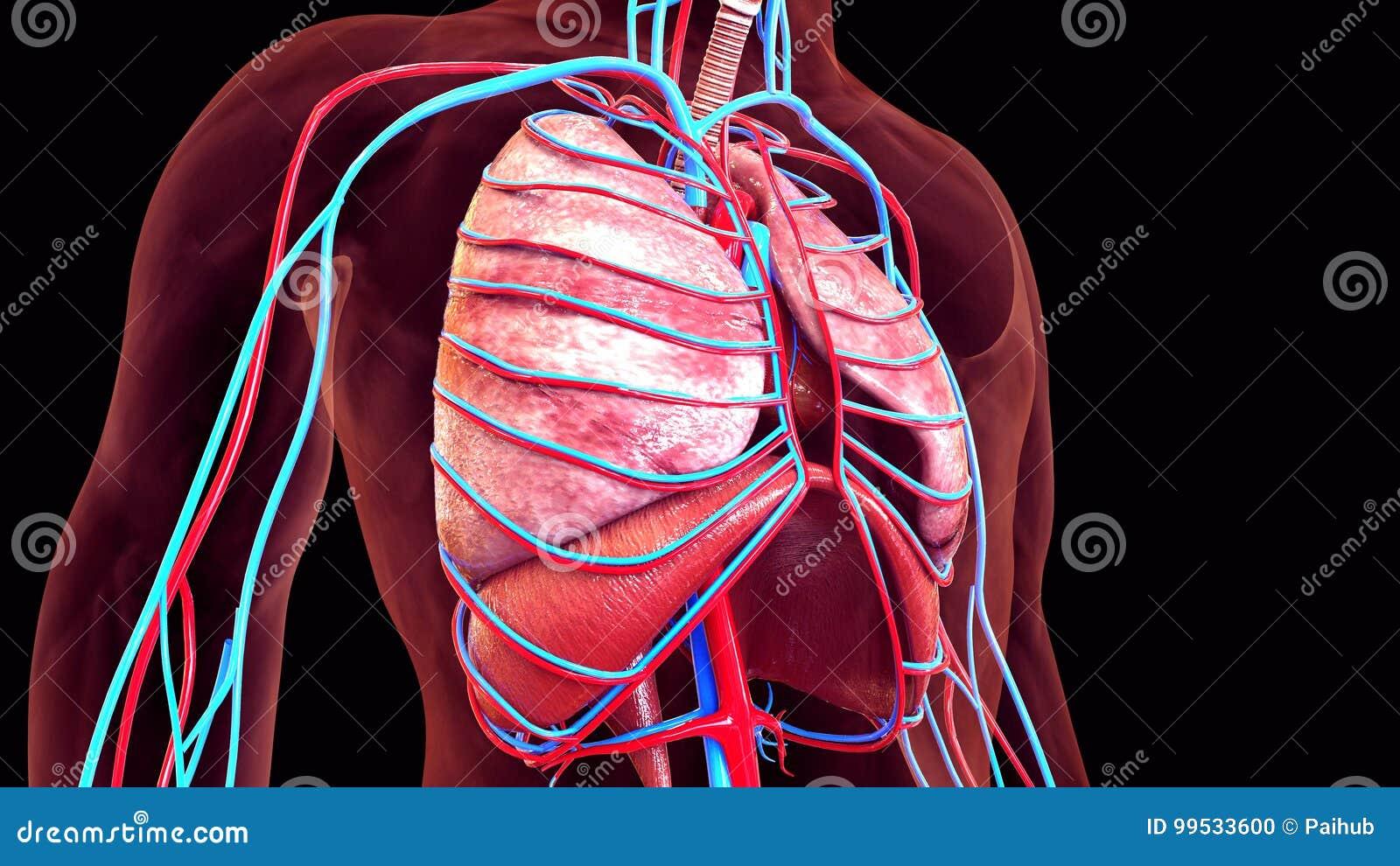 3d Illustration Of Human Body Organs Stock Illustration