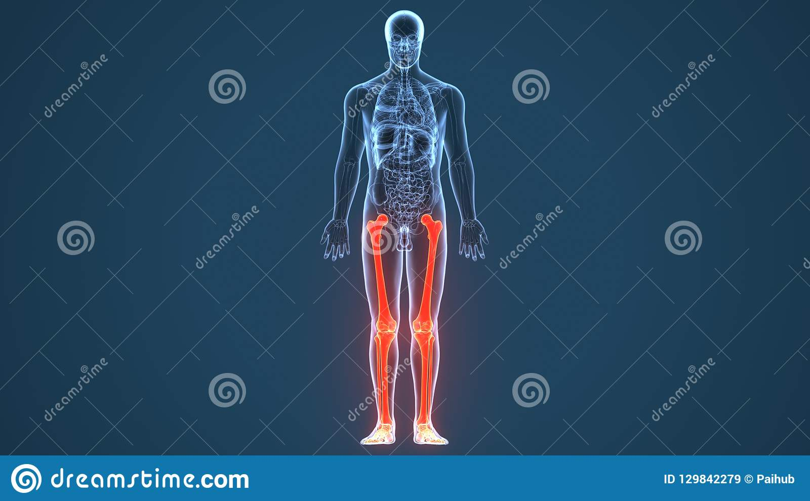 article includes list related items share same name if internal link incorrectly led you here you may wish 129842279 3d illustration of human skeleton leg bones anatomy stock
