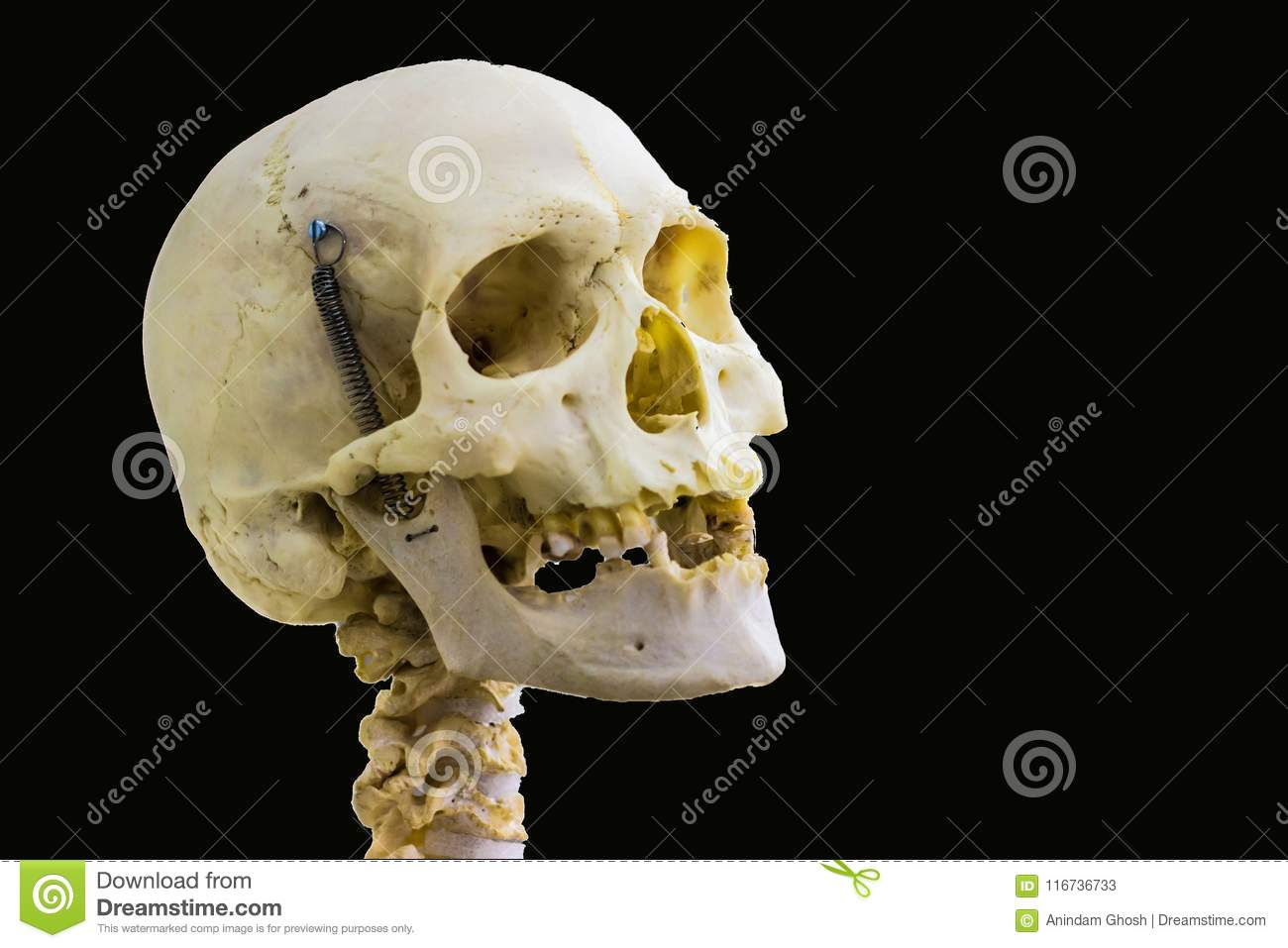 Articulated Human Skull Bone And Cervical Vertebrae For Head And