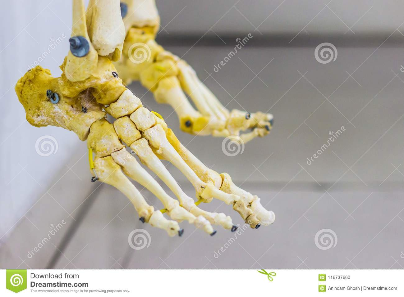 Articulated Tarsal Metatarsal And Phalanges Bones Showing Human Foot