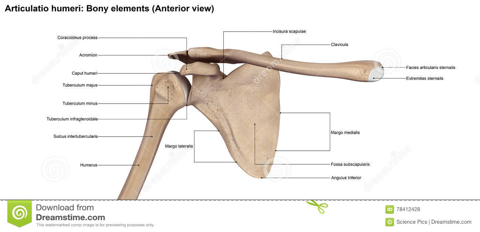 Articulatio Humeribony Elements Anterior View Stock Illustration