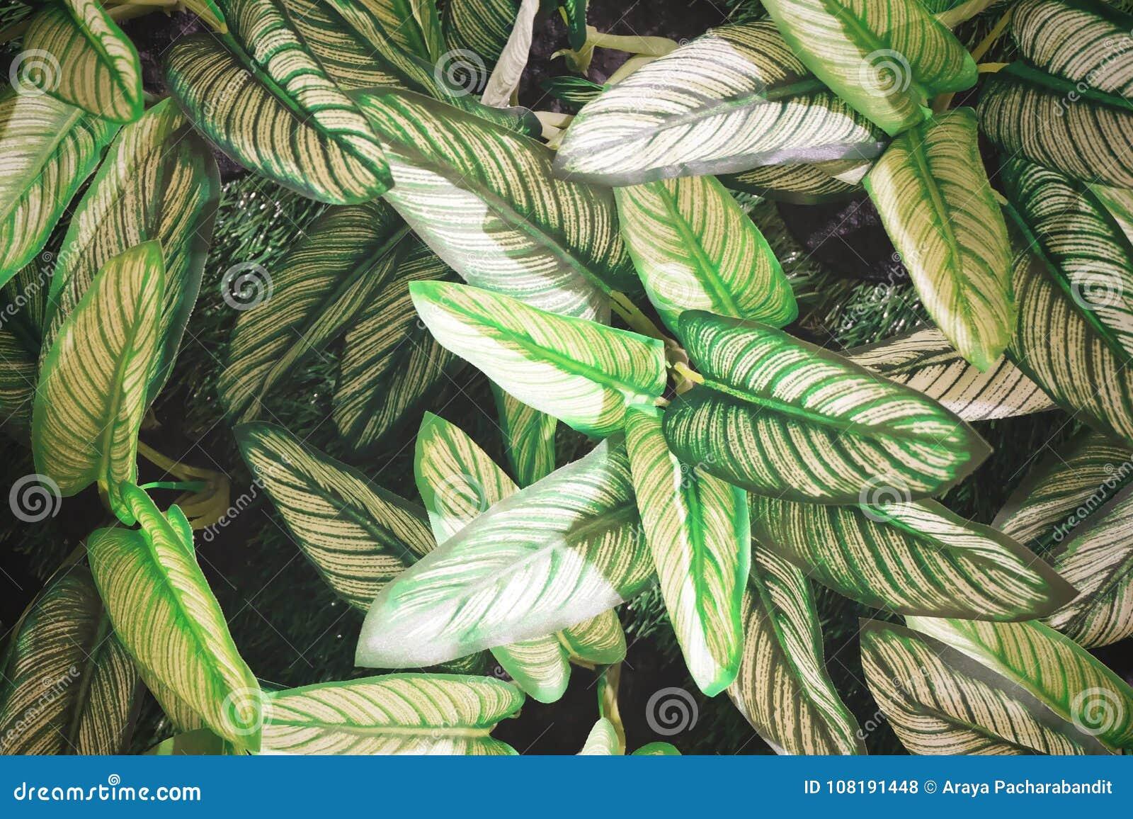 Artificial Dumb Cane Leaves or Dieffenbachia Plants