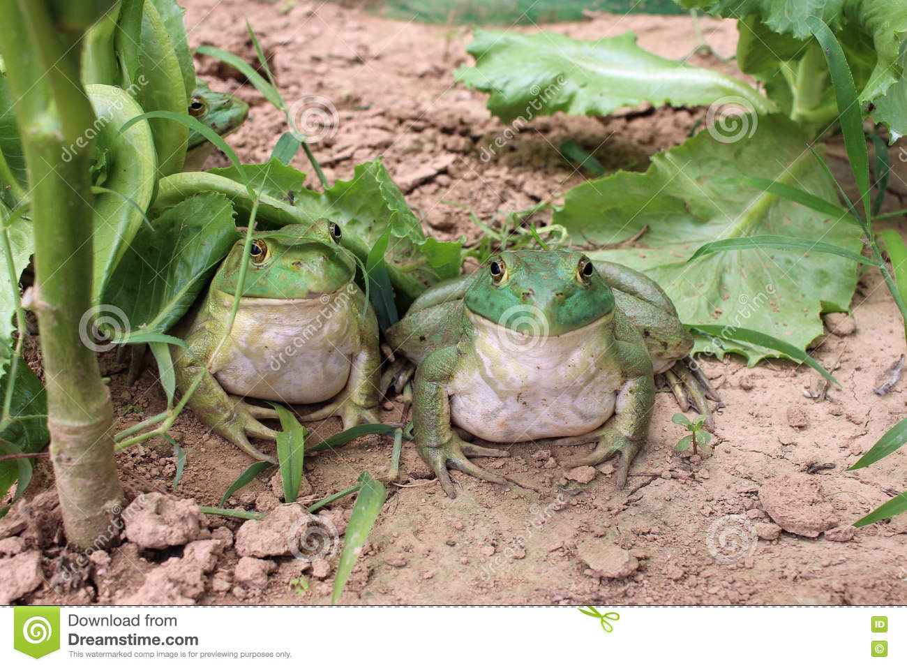 Artificial feeding of Bullfrog