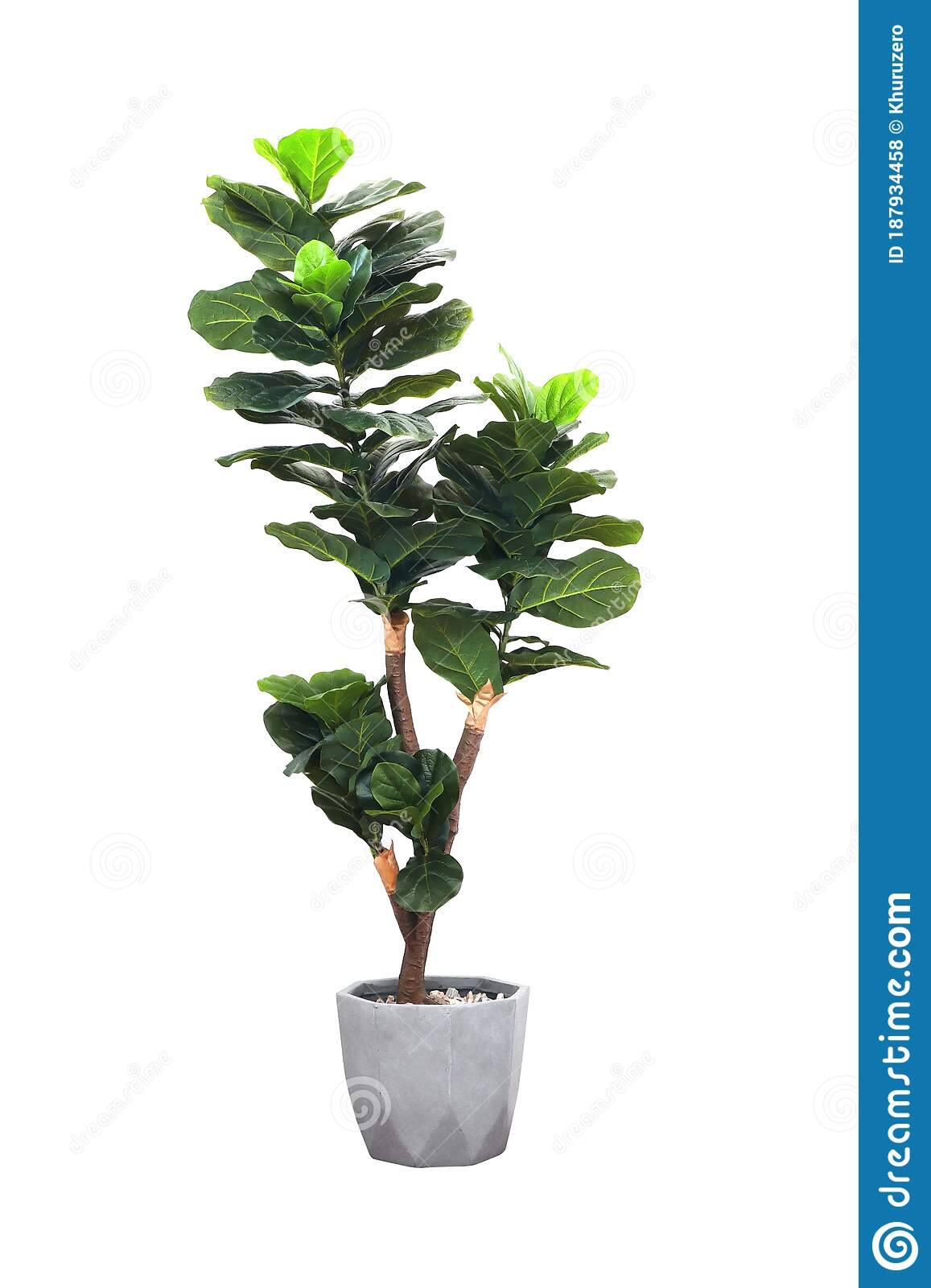 Artificial Fiddle Leaf Fig Or Ficus Lyrata In Pot Isolated On ...