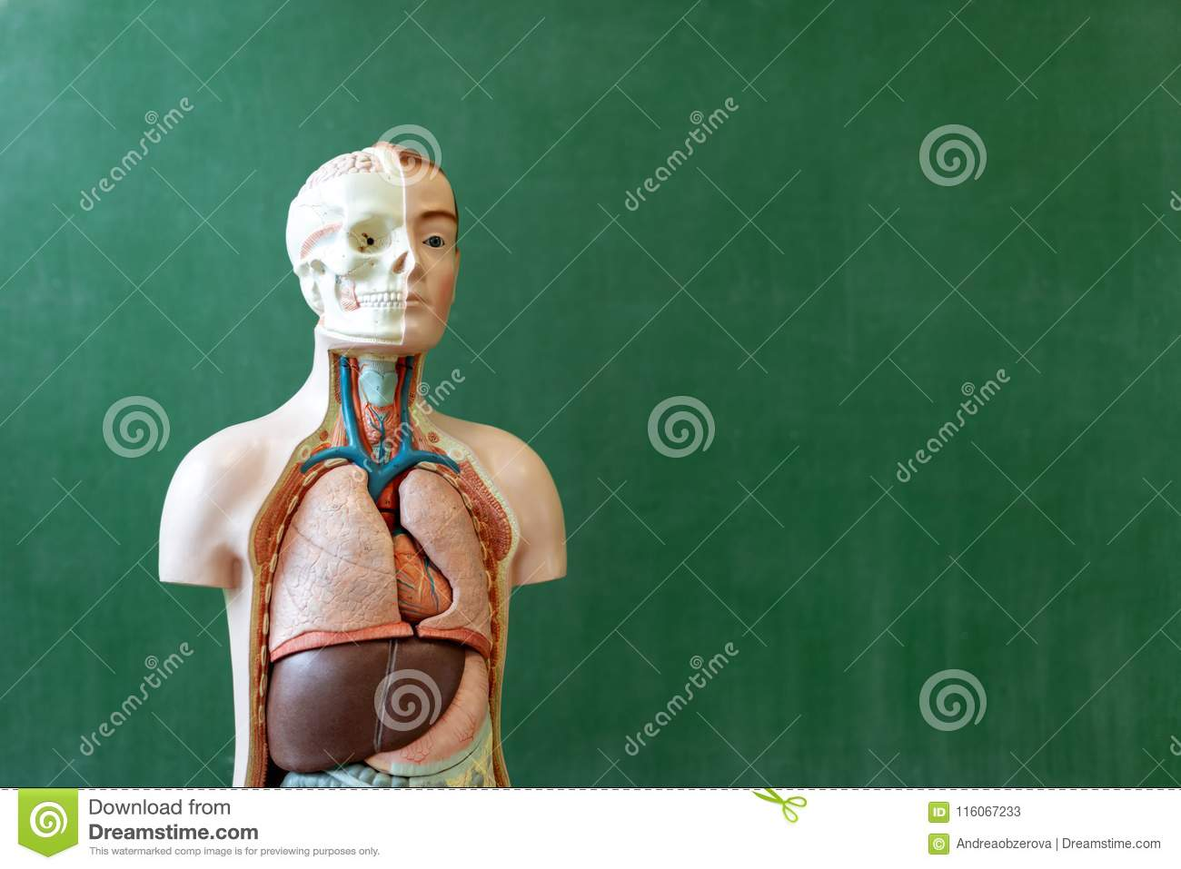 Artificial Human Body Model Biology Class Anatomy Teaching Aid