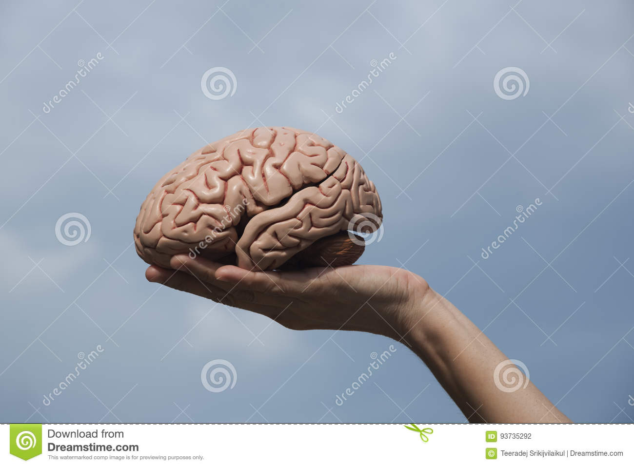 Artificial Human Brain Model And Hand Holding Stock Photo - Image of ...