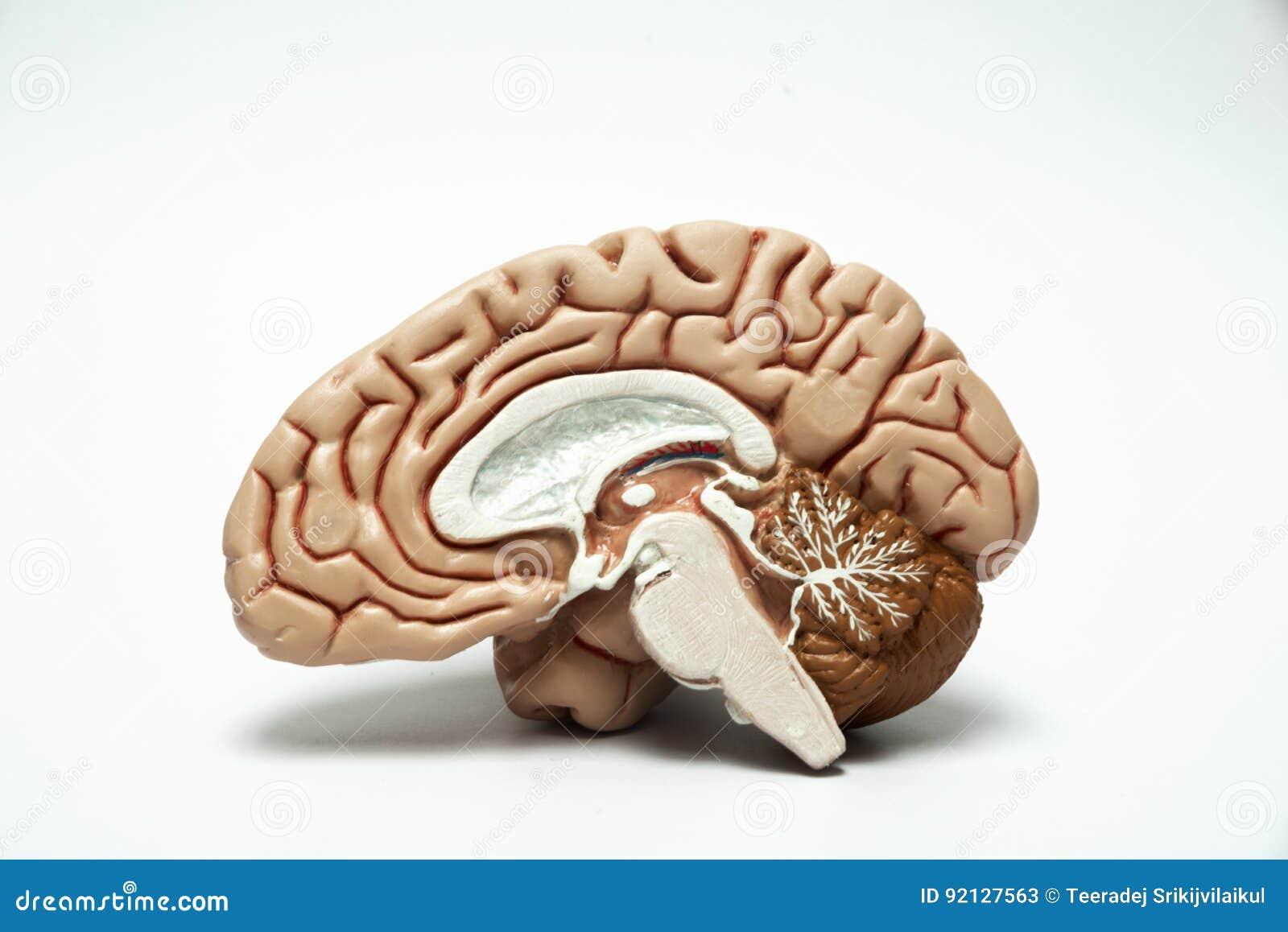 Artificial Human Brain Model Stock Image - Image of cerebrum, organ ...