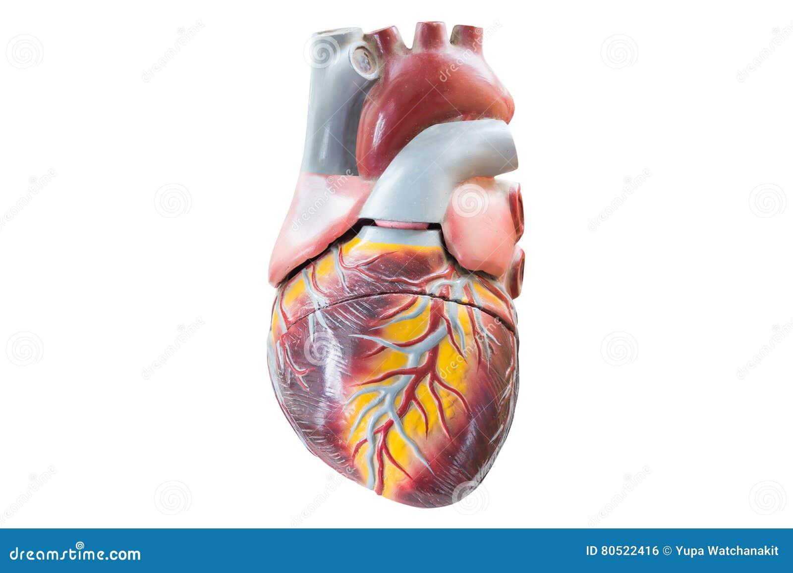 Artificial human heart model