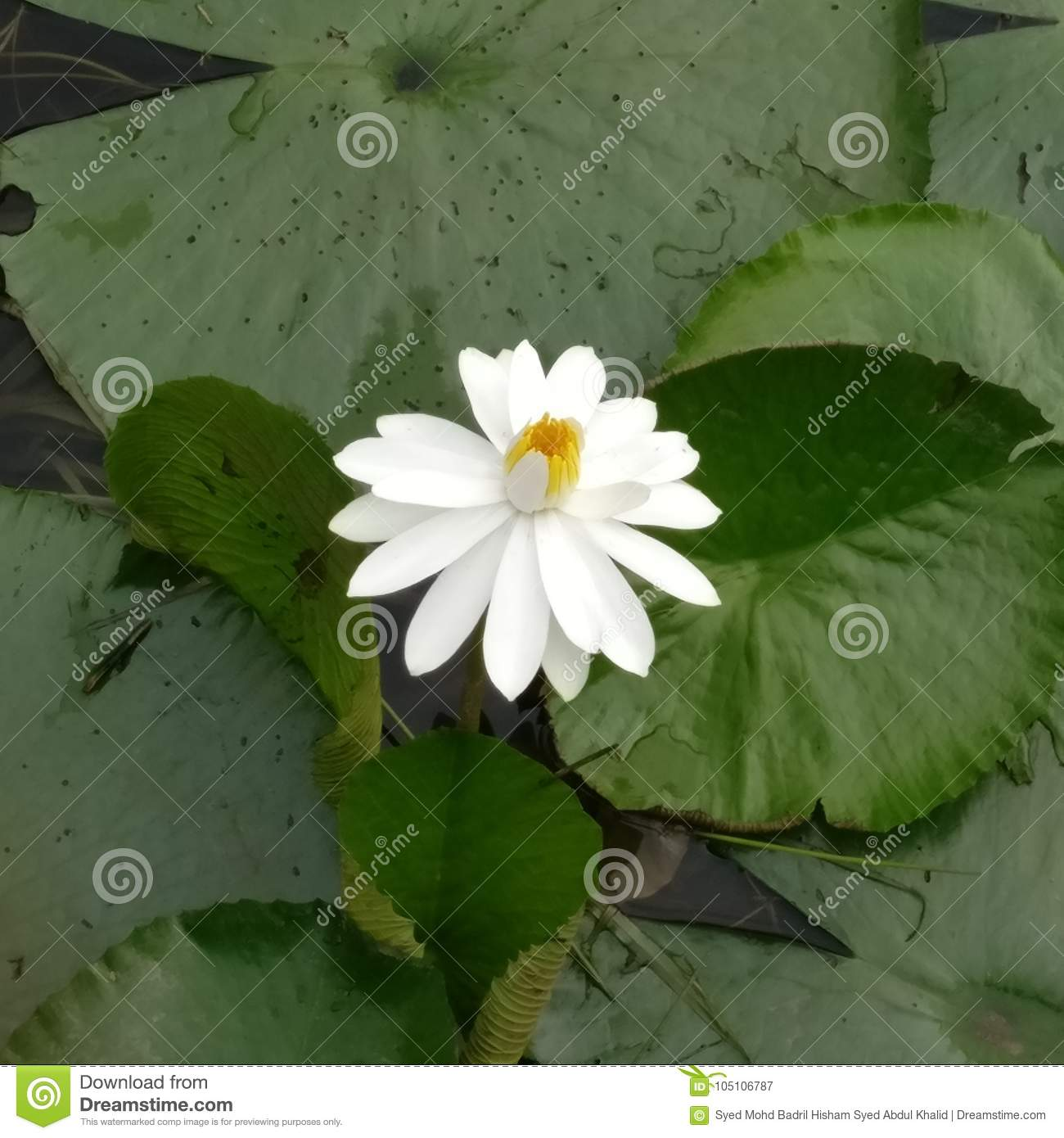 The Artificial Lotus Flower Stock Image Image Of Tourist Lily