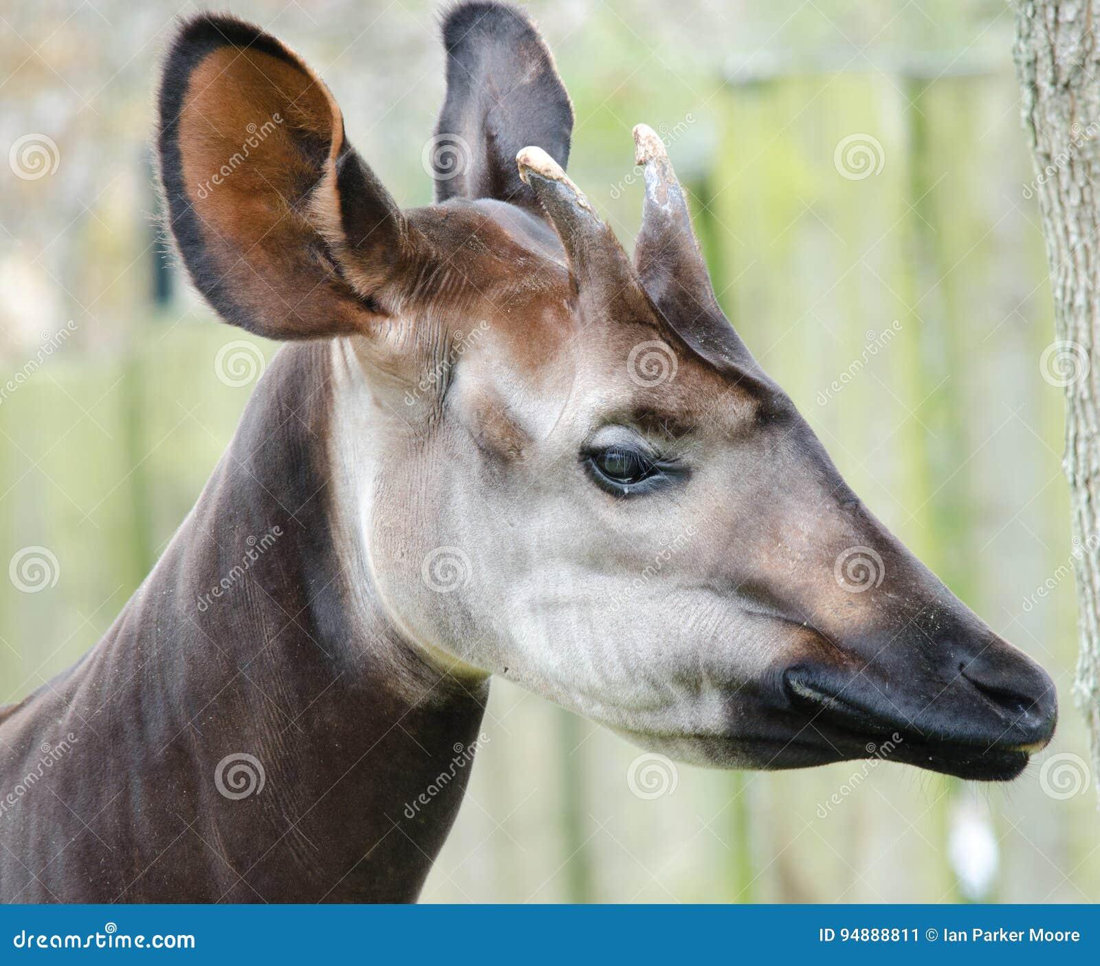 Artiodactyl Giraffia окапи