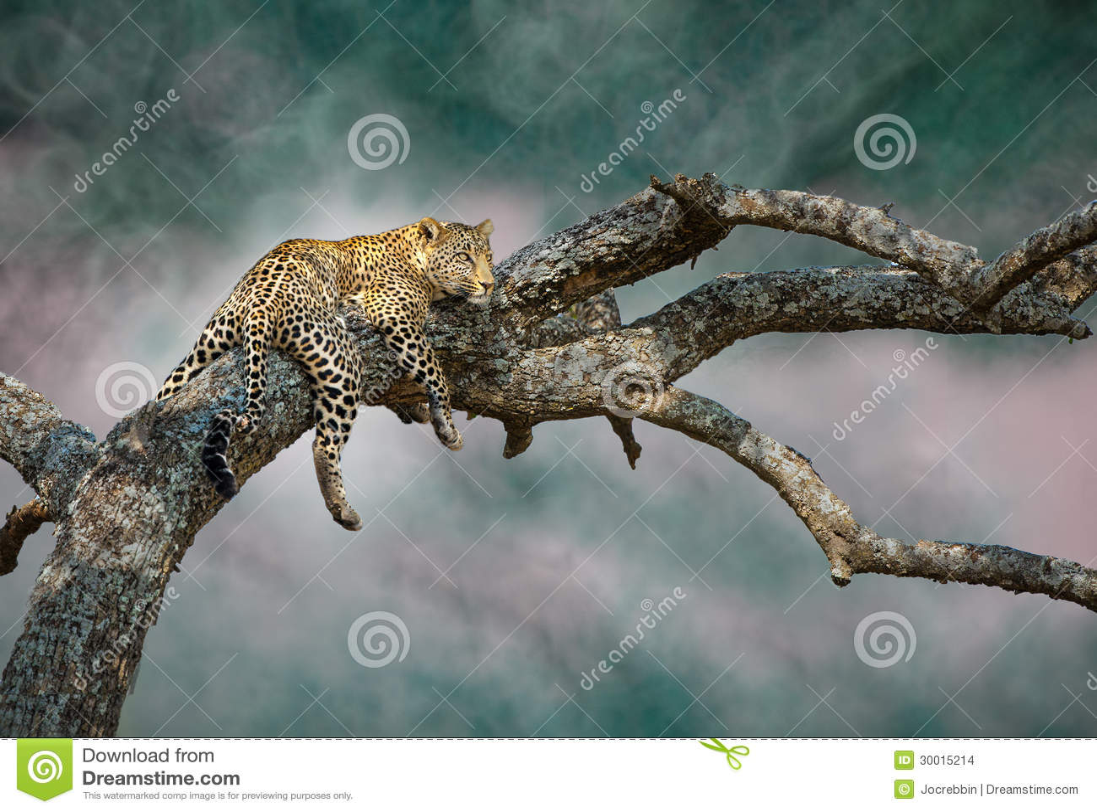 The elusive leopard