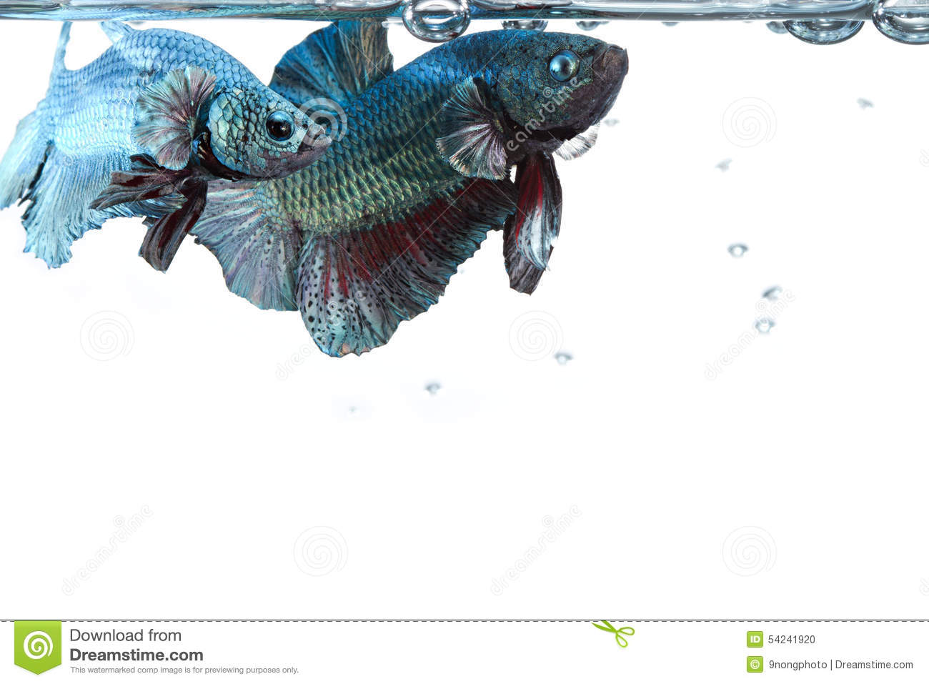 Artistic pair of betta fighting fish, with water surface border